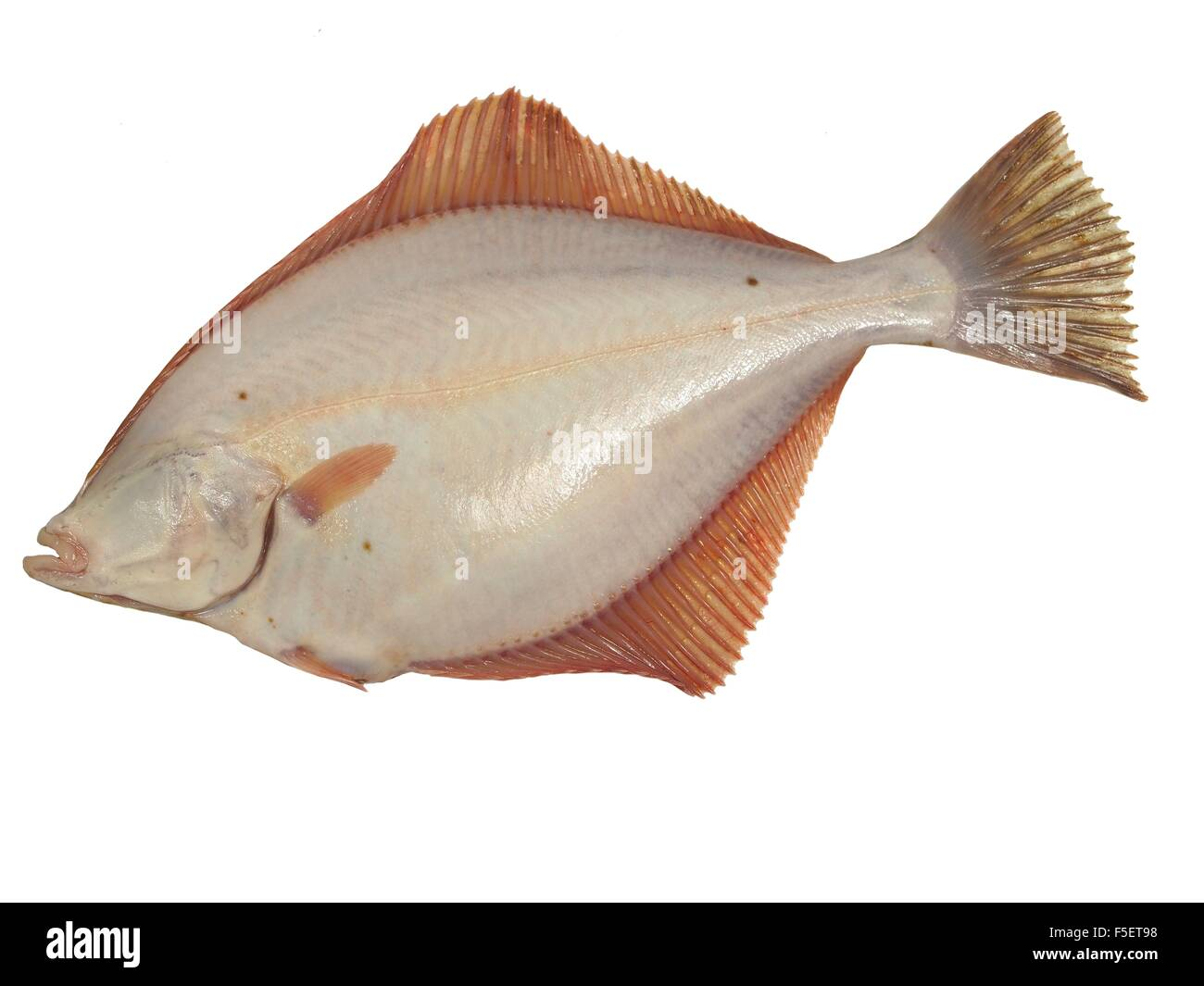 big fish flounder on white background - Stock Image