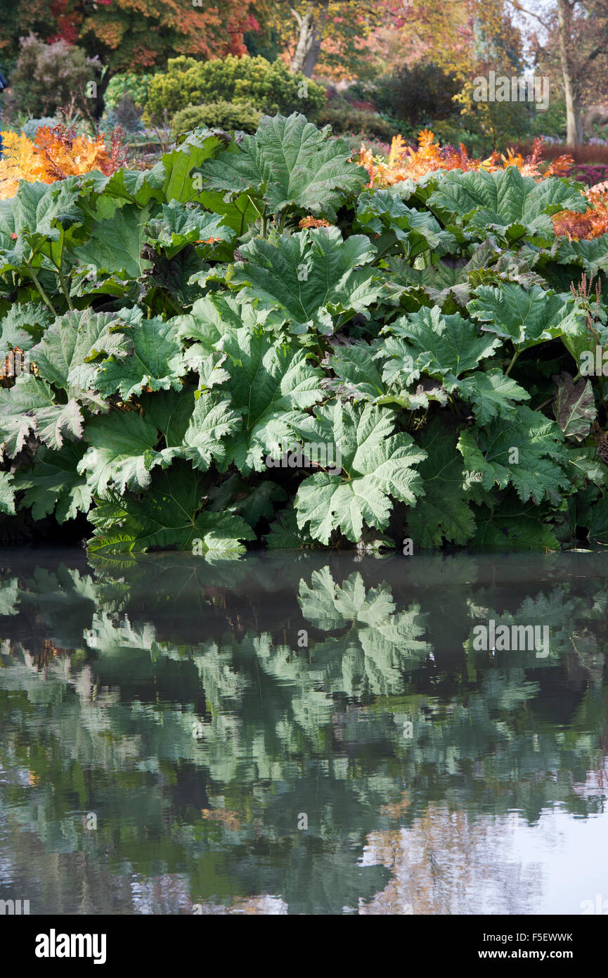 Gunnera Tinctoria, Giant rhubarb leaves in autumn reflecting in a pond at RHS Wisley Gardens, Surrey, England Stock Photo