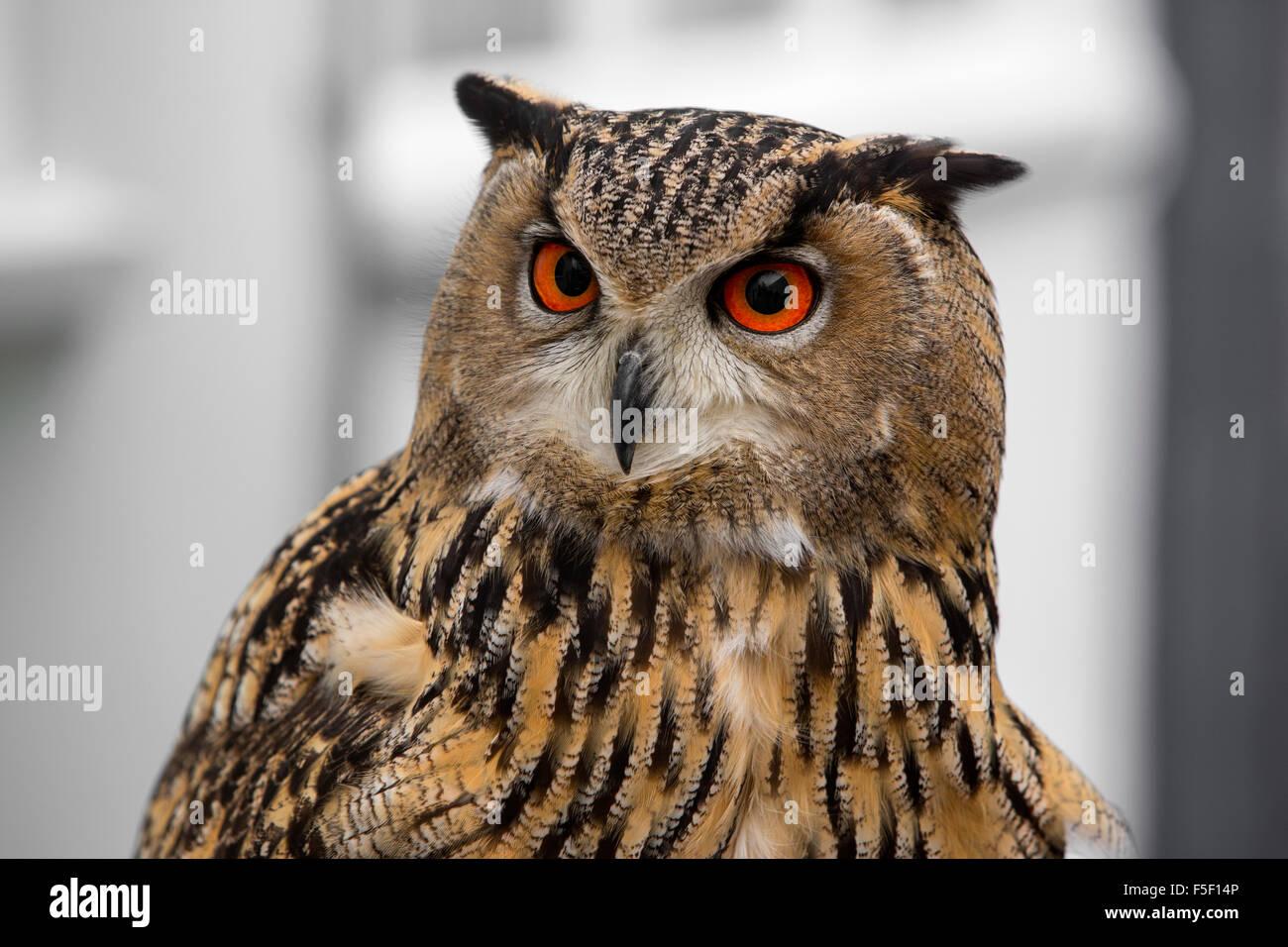 Eagle Owls - Stock Image