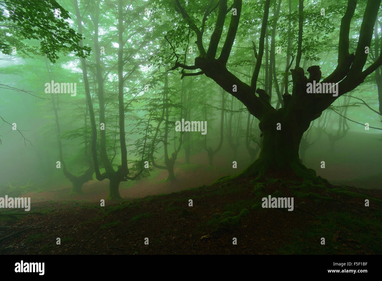 mysterious scary forest with fog - Stock Image