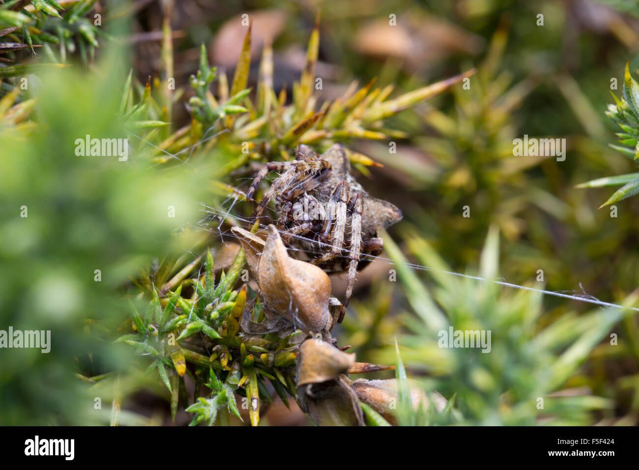 Angular Orb Weaving Spider; Araneus angulatus Cornwall; UK - Stock Image