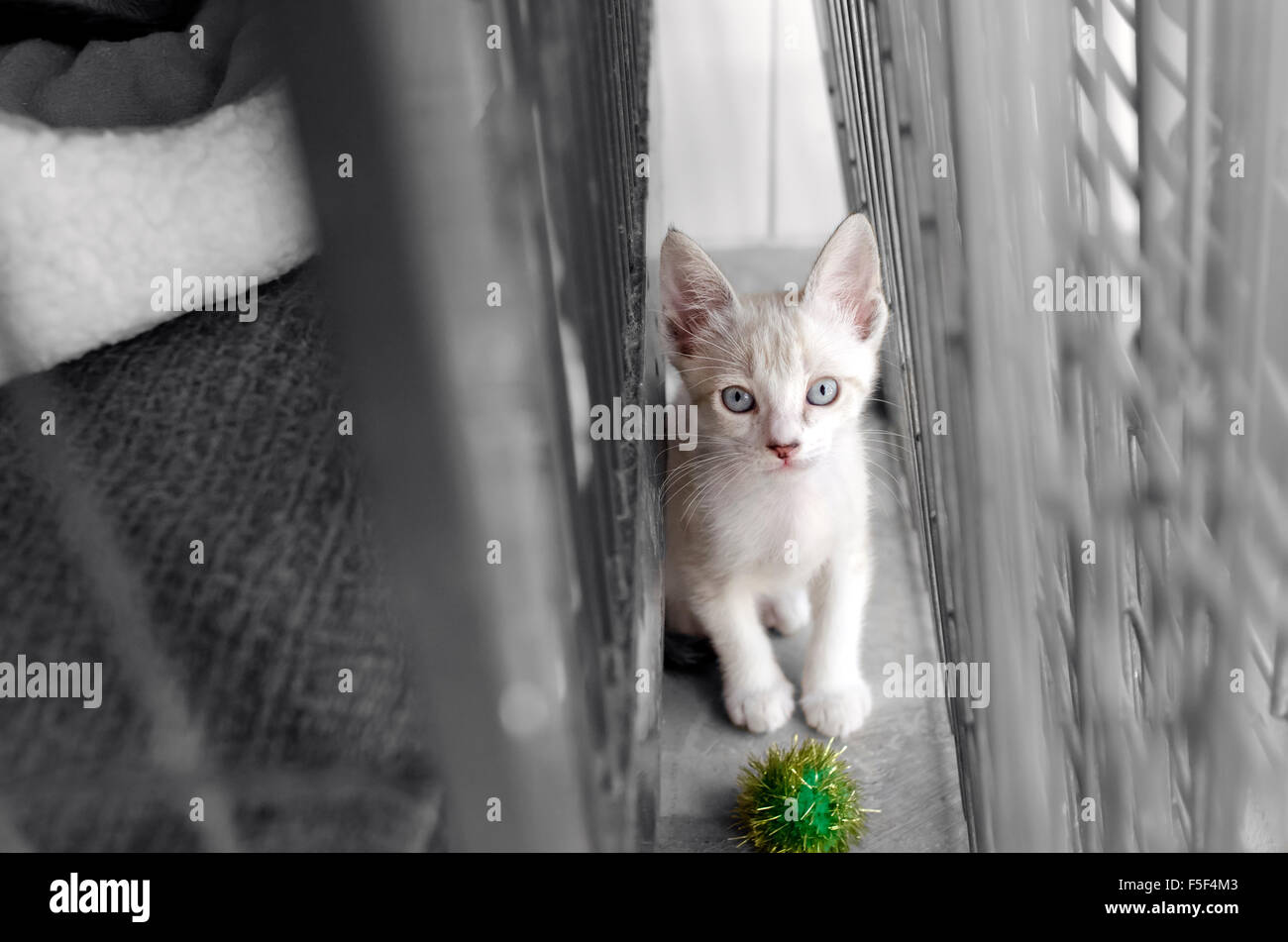 Shelter animal is a cute white kitten  in an animal shelter looking up wondering if someone will adopt him today. - Stock Image