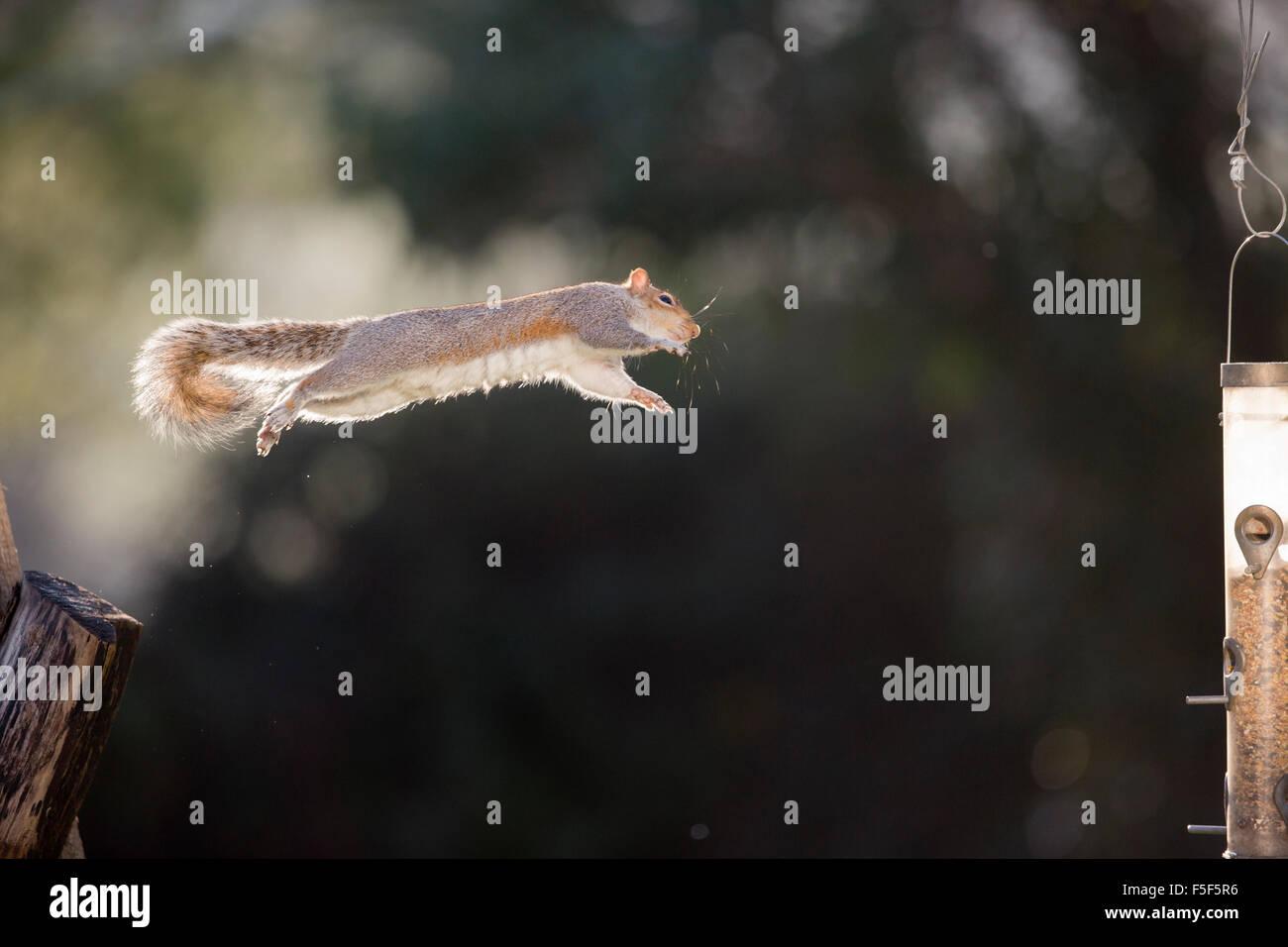 Grey Squirrel; Sciurus carolinensis Single Jumping to Feeder; Cornwall; UK - Stock Image