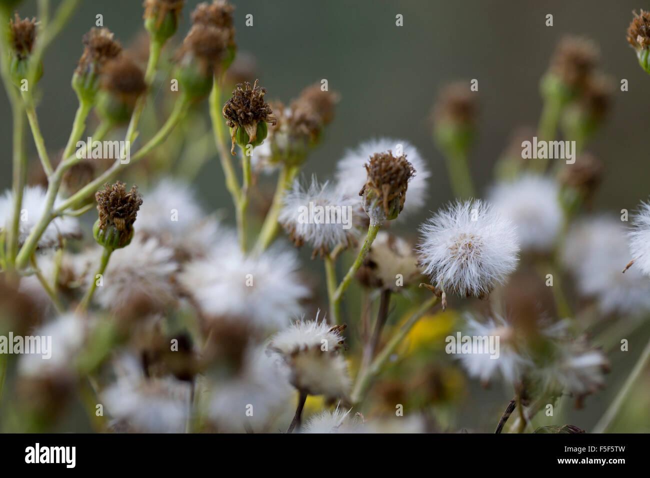 Ragwort Seed Heads; Senecio jacolaea Cornwall; UK - Stock Image