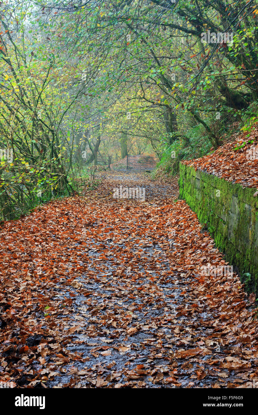 Autumn leaves along The Elidir Trail on way to Sgwd Gwladus (The Lady Falls) during a Rainy day - Stock Image