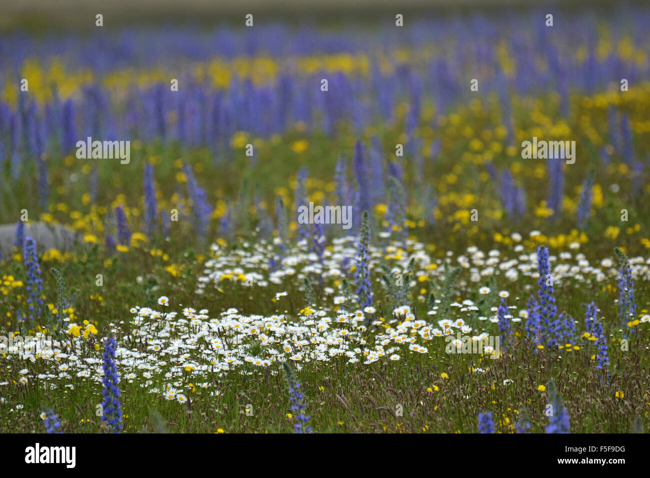 Wild Yellow And White Flowers And Flowering Lupines Lupinus Stock