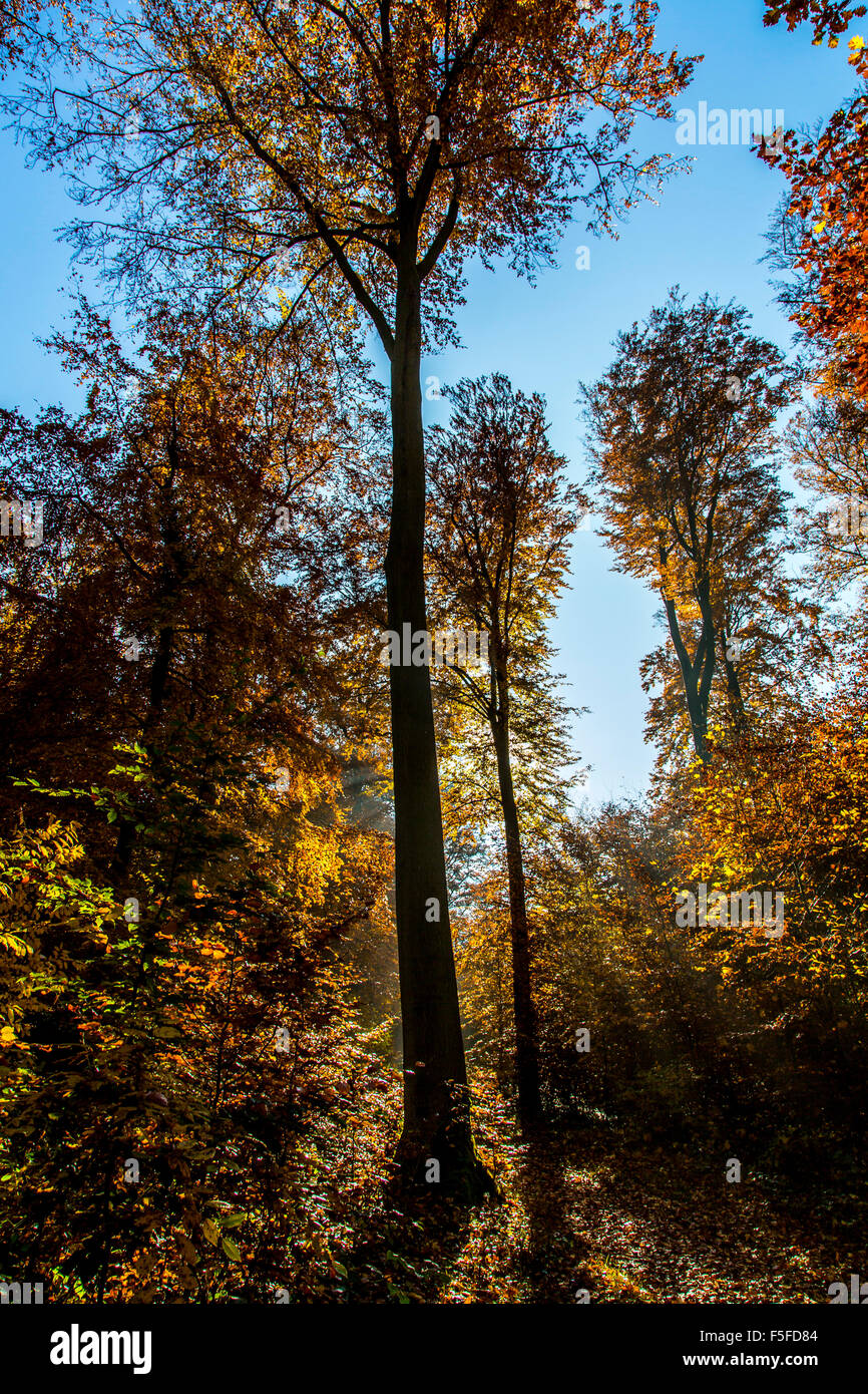 Forest in fall colors, autumn trees, foliage, near Boppard, Rhine valley, Germany - Stock Image