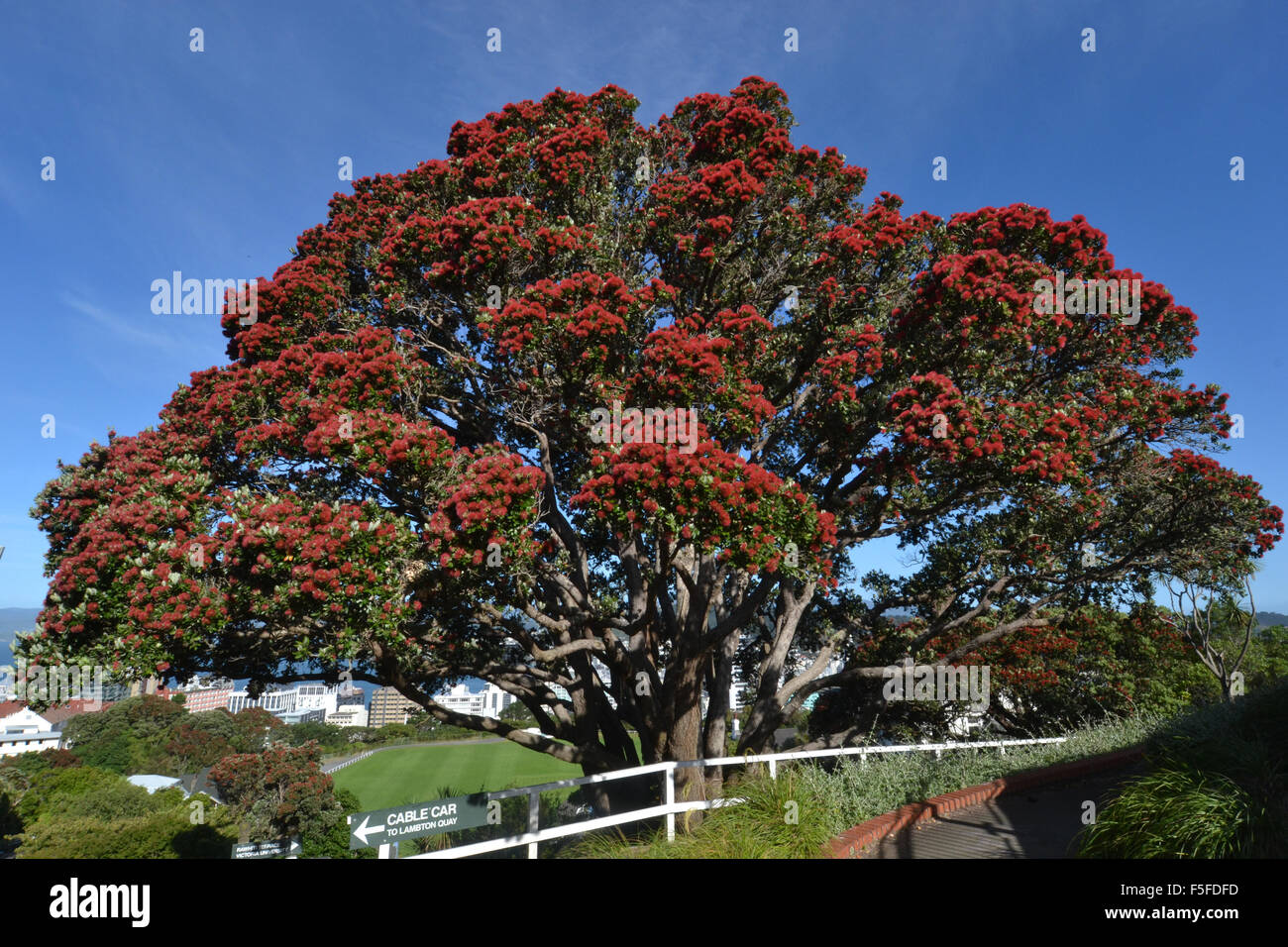New Zealand Christmas Tree.Pohutukawa Tree Or New Zealand Christmas Tree Metrosideros