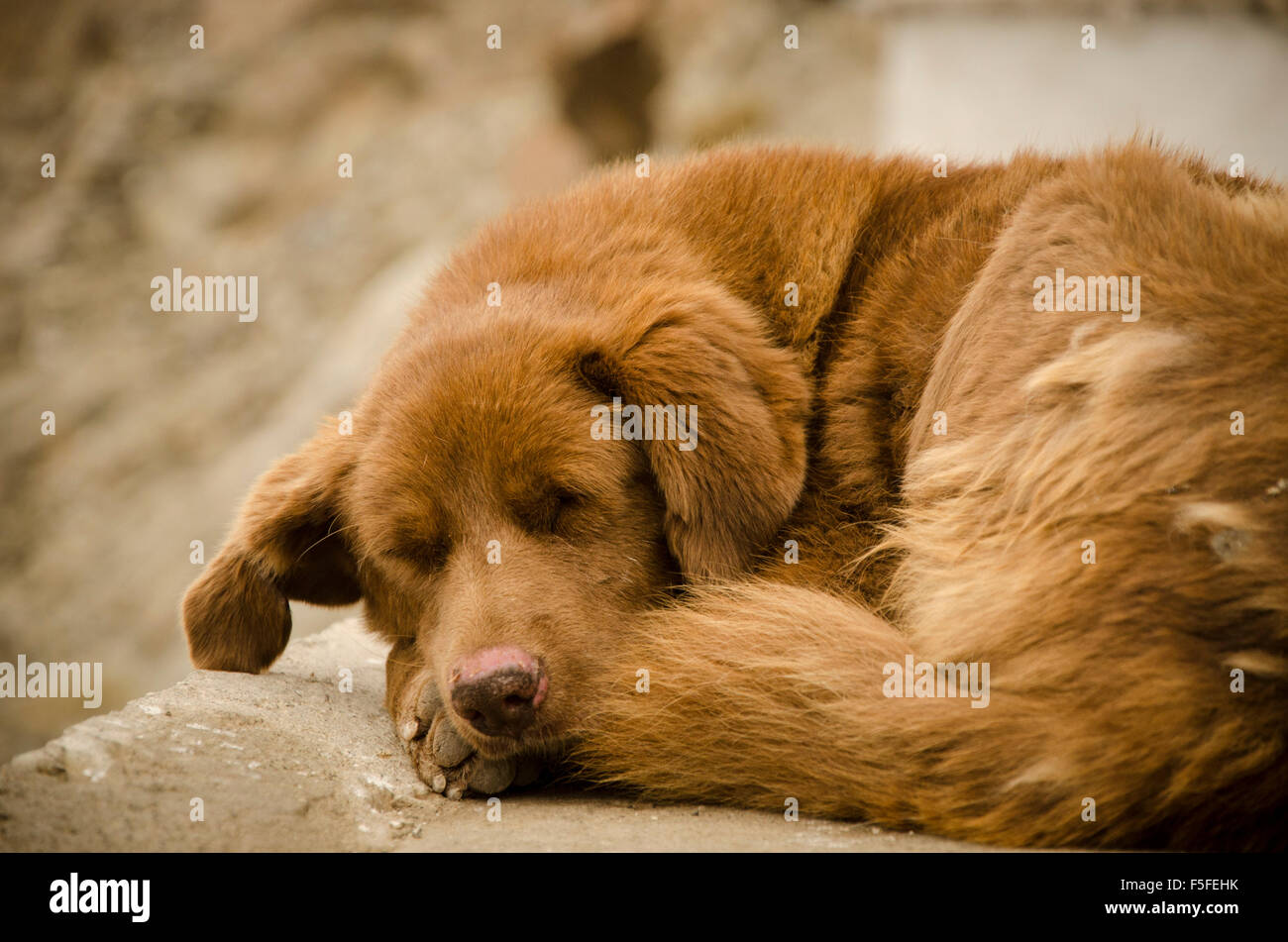 Dog lying down sleeping - Stock Image