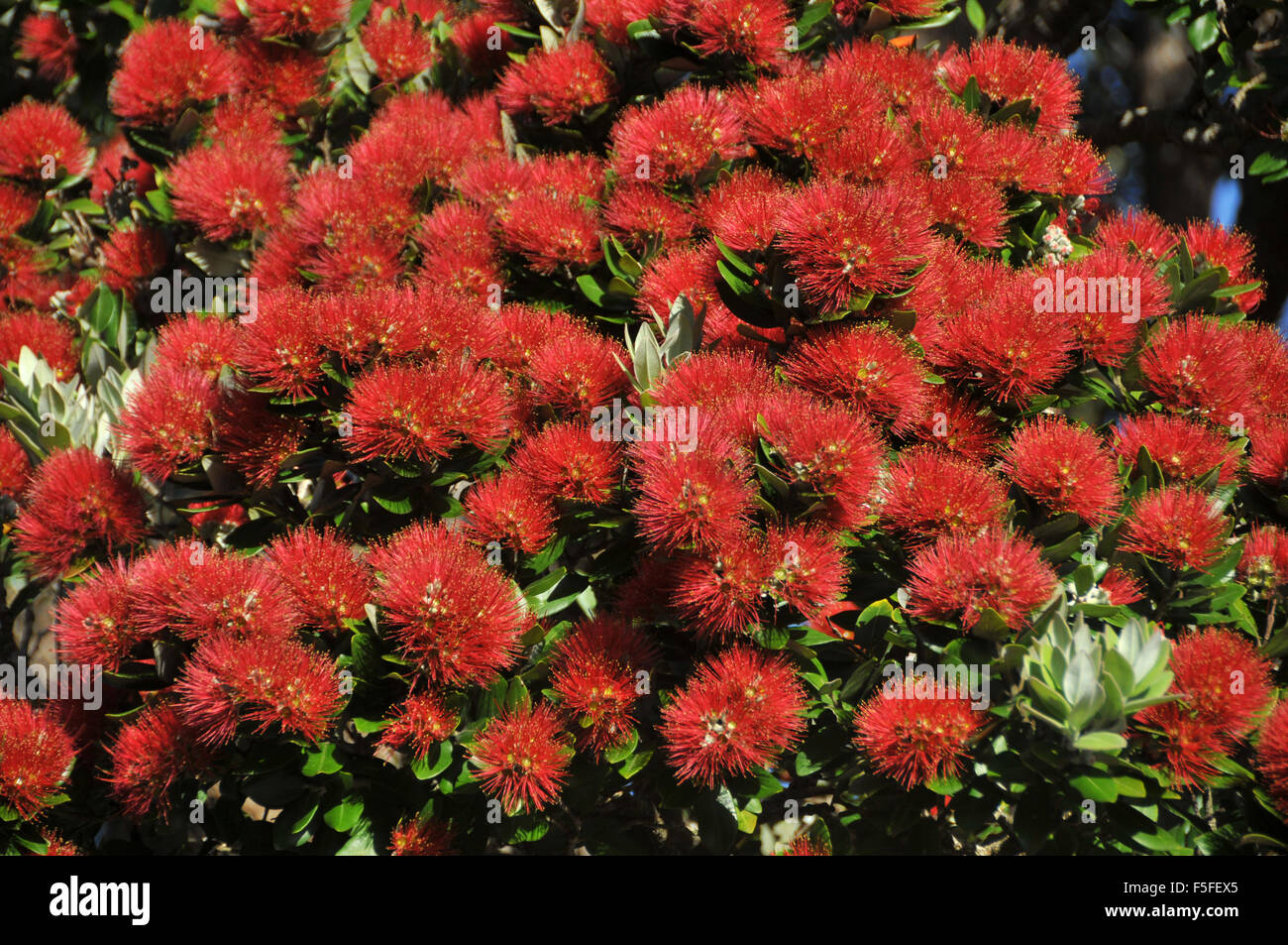 Pohutukawa Tree Flower Or New Zealand Christmas Tree Metrosideros