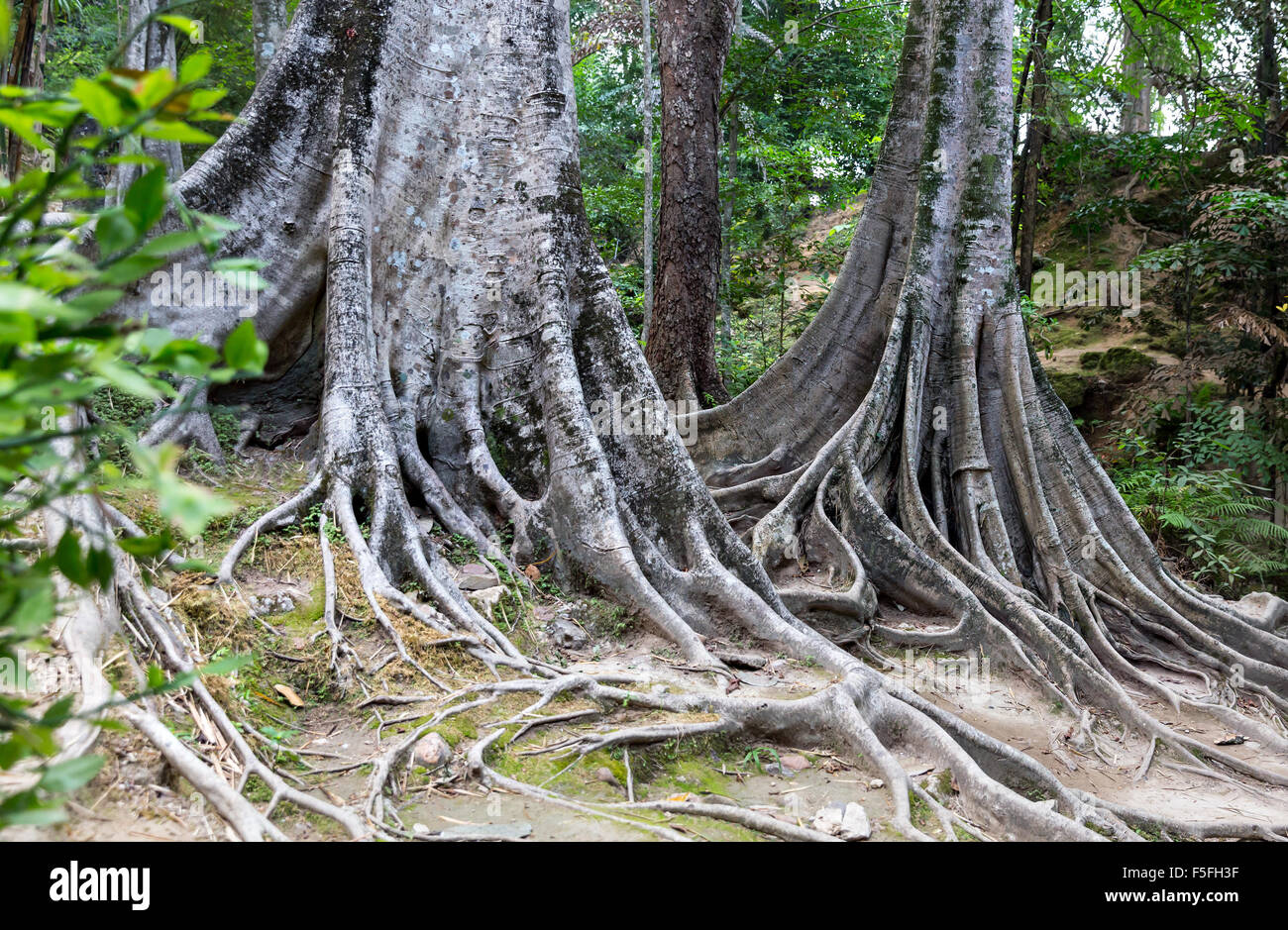 Tropical tree roots. - Stock Image