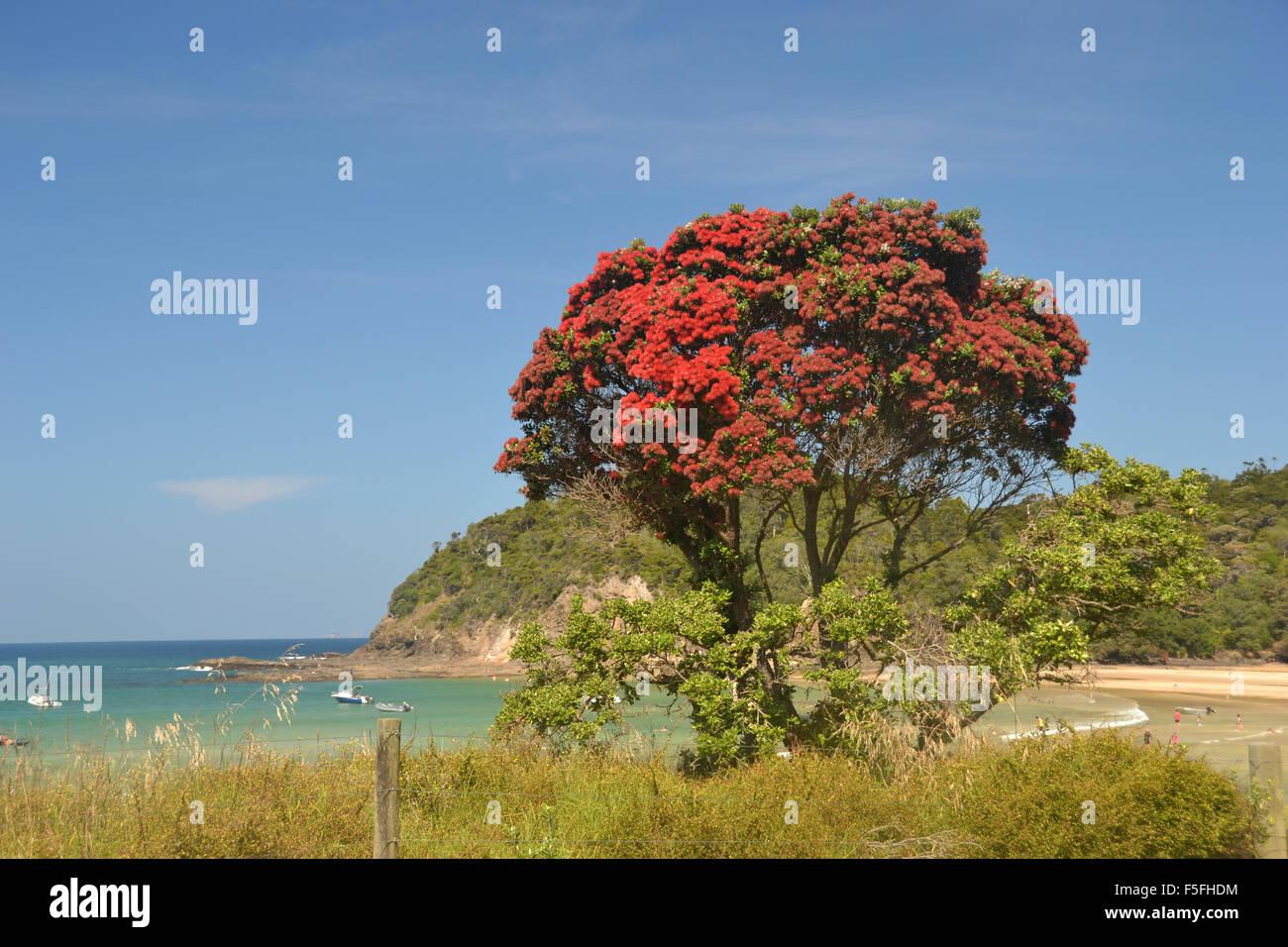 New Zealand Christmas tree or Pohutukawa, Metrosideros excelsa, Matapouri Beach, North Island, New Zealand - Stock Image