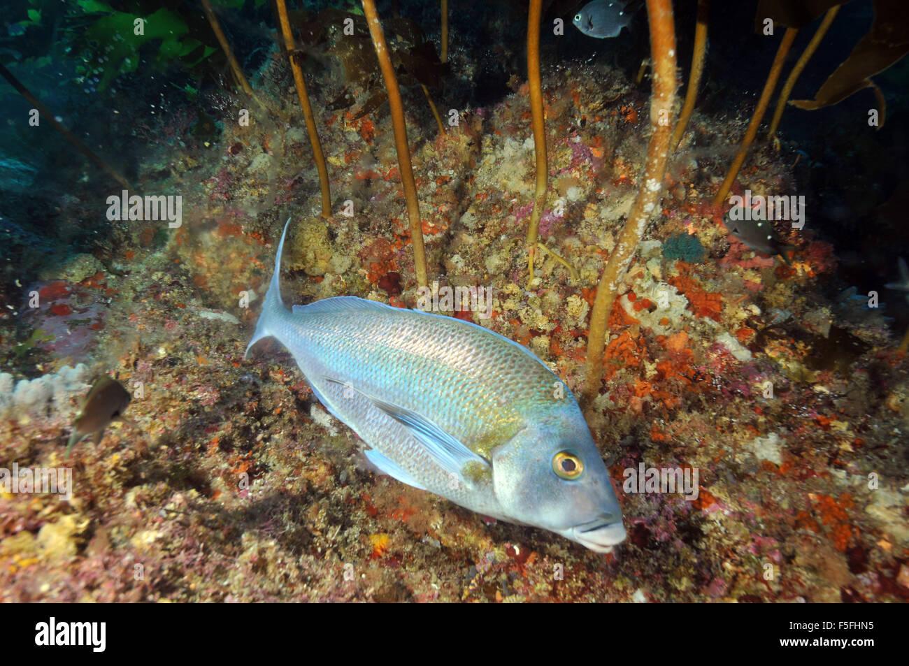 Blue morwong or porae fish, Nemadactylus douglasii, swims by