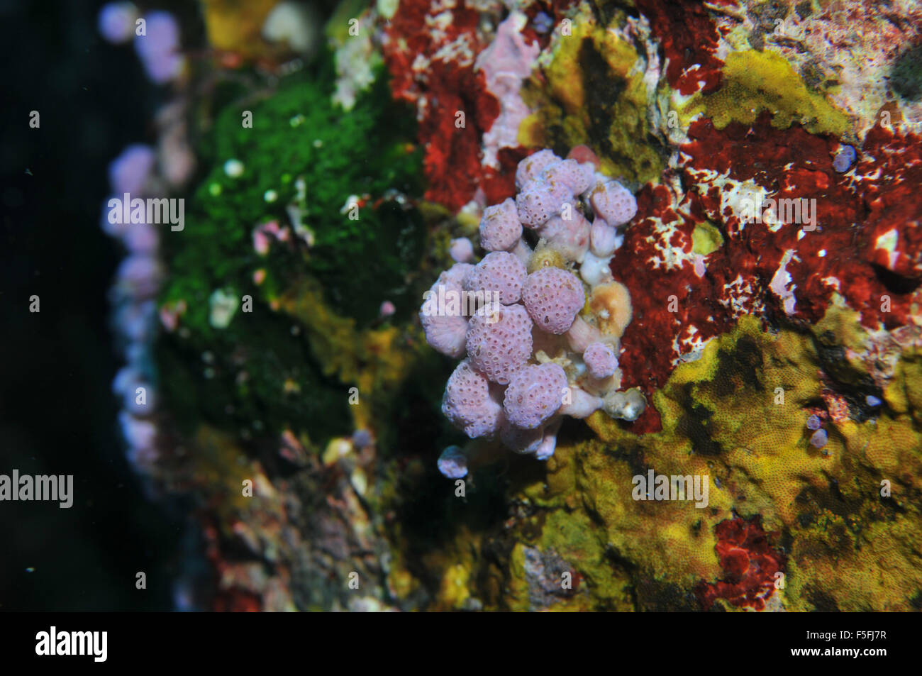 A colorful wall of the coral reef around Poor Knights Islands Nature Reserve, Bay of islands, New Zealand - Stock Image