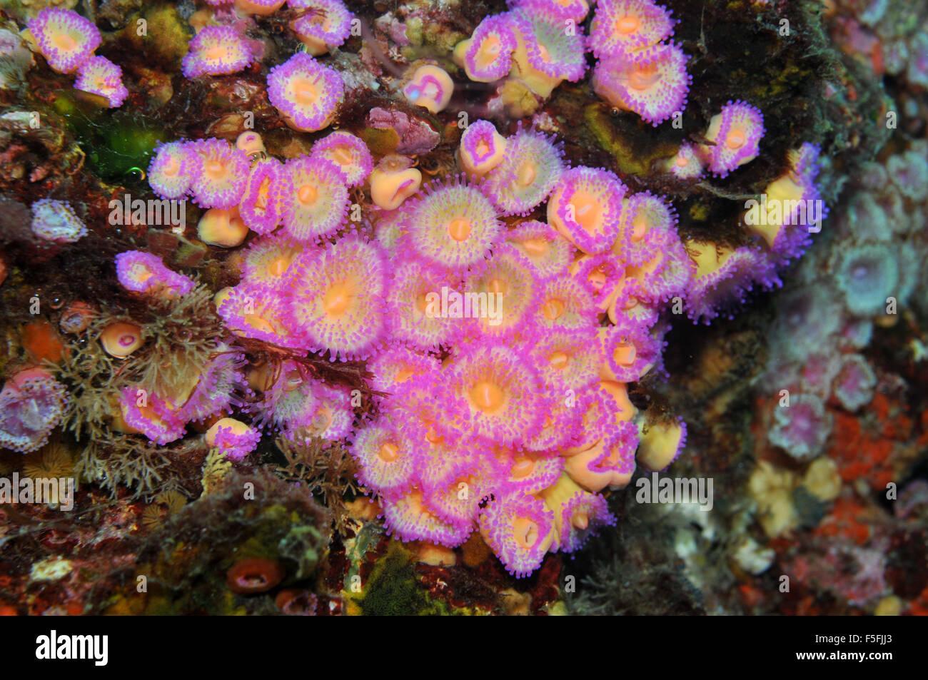Anthozoans Jewel anemones, Corynactis viridis, Poor Knights Islands Nature Reserve, Bay of Islands, New Zealand Stock Photo