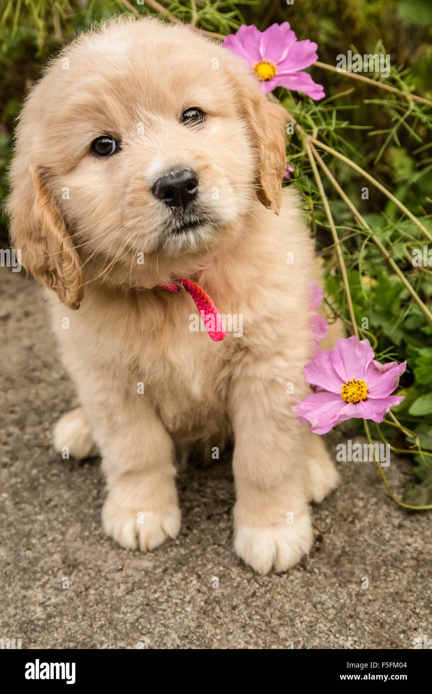 Cute Seven Week Goldendoodle Puppy Sitting By Some Pink