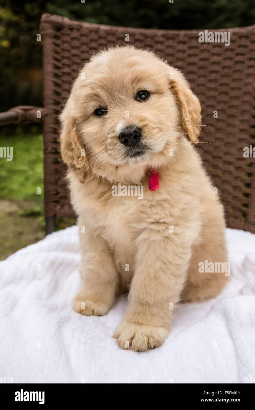Cute Seven Week Goldendoodle Puppy Sitting On A White Towel