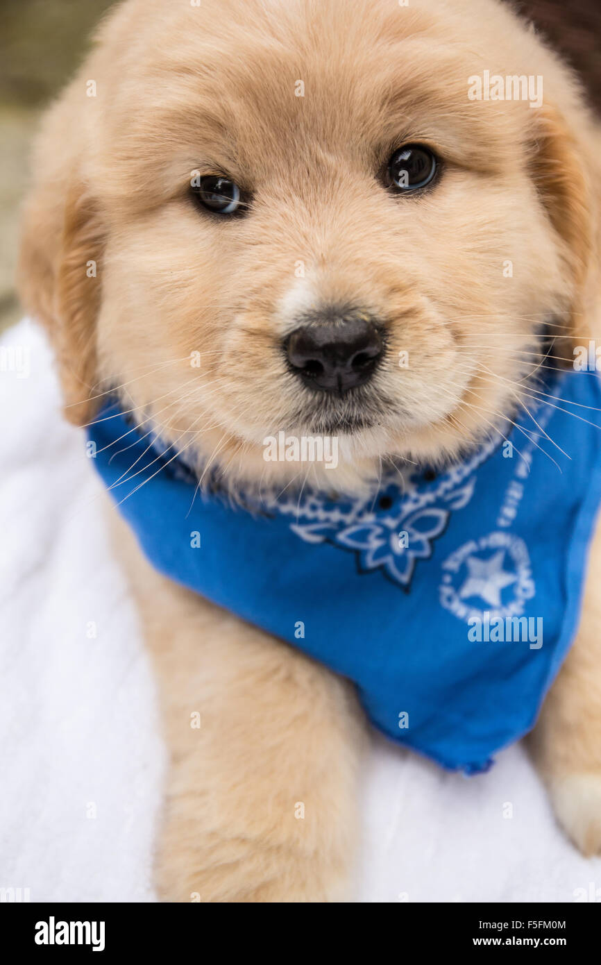 Cute seven week Goldendoodle puppy wearing a blue neckerchief in Issaquah, Washington, USA - Stock Image
