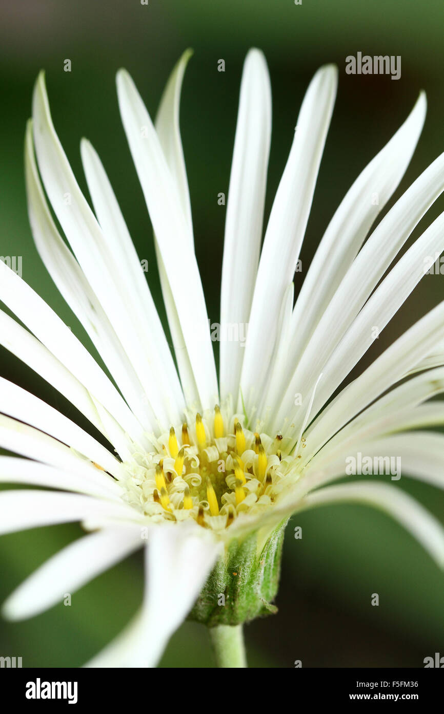 White Gerbera Flower Stock Photo 89470170 Alamy