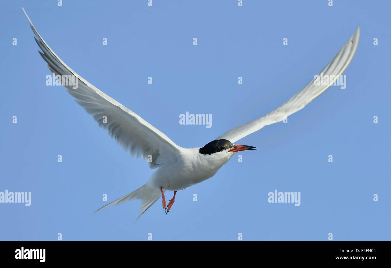Adult  common tern in flight on the blue sky background - Stock Image