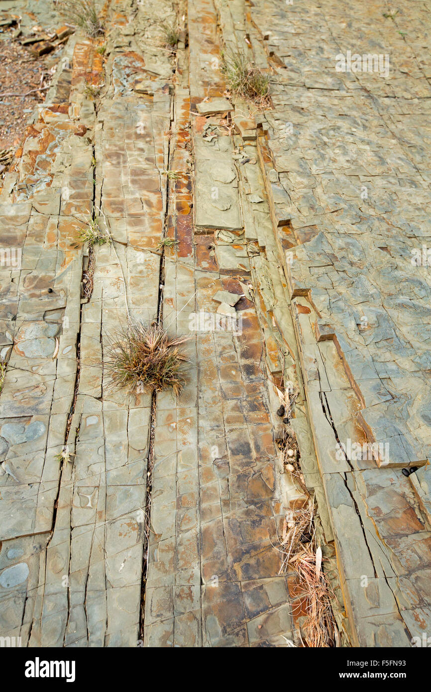 Tiny plant growing in crack in slab of shale rock at Mount Chambers gorge in arid Flinders ranges in northern outback - Stock Image