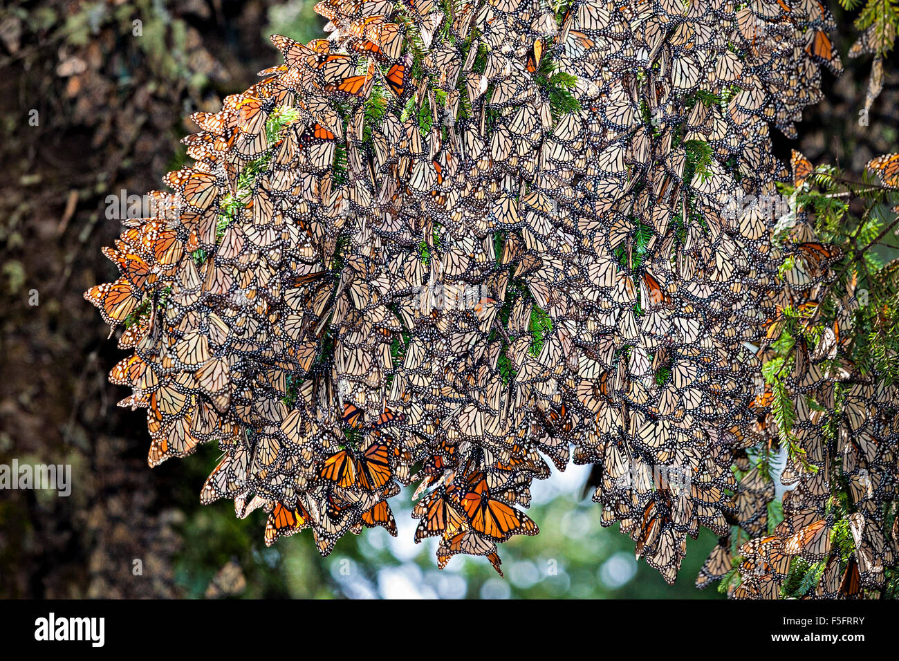 Hundreds of monach butterflies cling to an oyamel fir tree in the Rosario Sanctuary, Michoacan, Mexico. - Stock Image