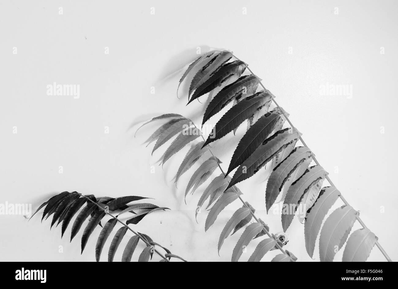 leaves, bw, close up,light,dark,fall,autumn - Stock Image