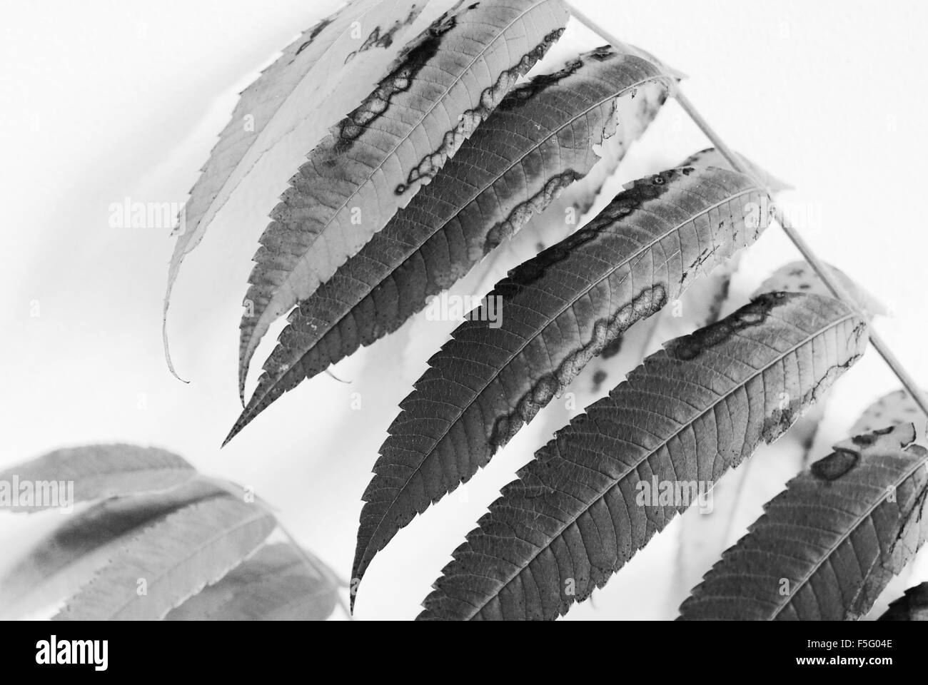 leaves, bw, close up, - Stock Image