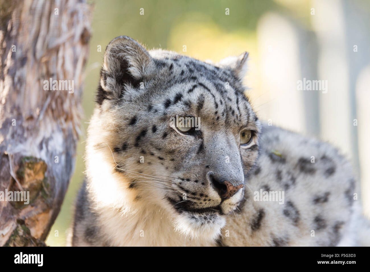 side portrait of snow leopard, Uncia uncia with shallow focus - Stock Image