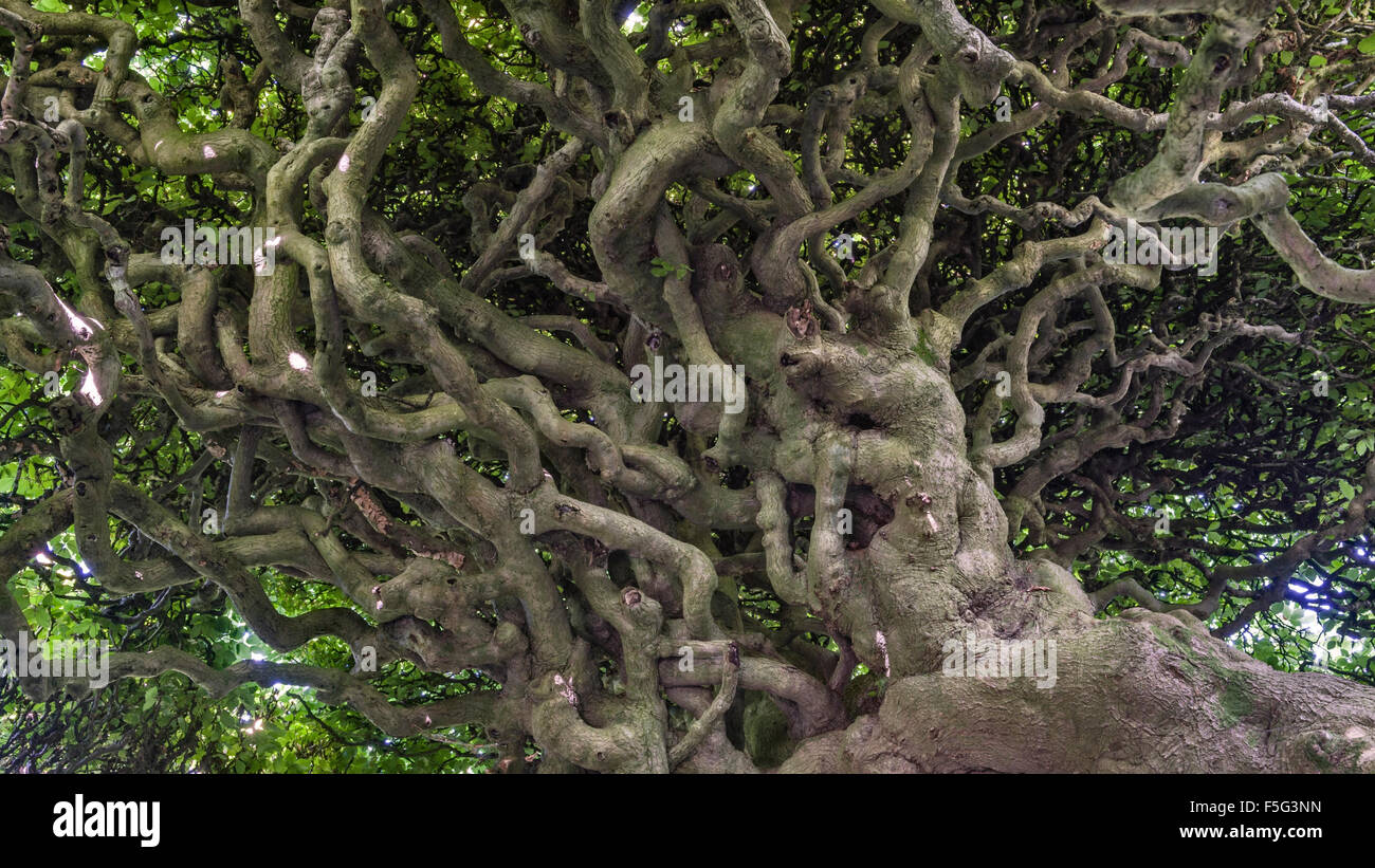 Levens Hall, Cumbria, UK. A famous eccentric topiary garden. The interior of the huge 300 year old beech hedge - Stock Image