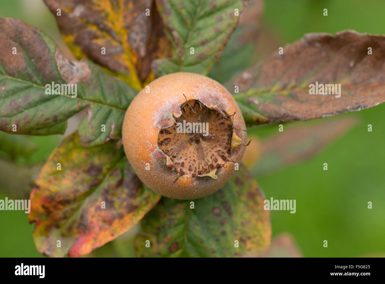 Fruit of a medlar tree with synescing autumnn leaves behind in November, a crop that originates in Roman times Stock Photo