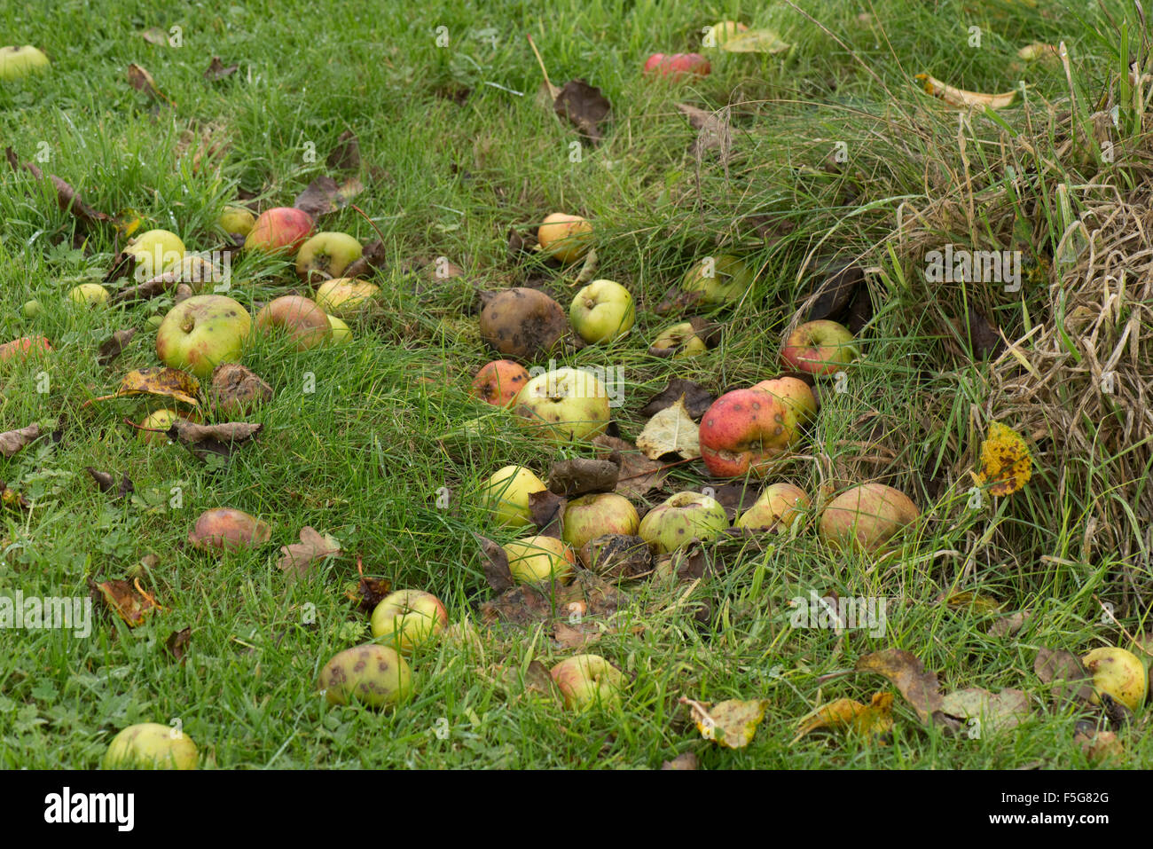 Windfalls Apples Fallen From The Tree Lying In Grass A Wet Warm Autumn