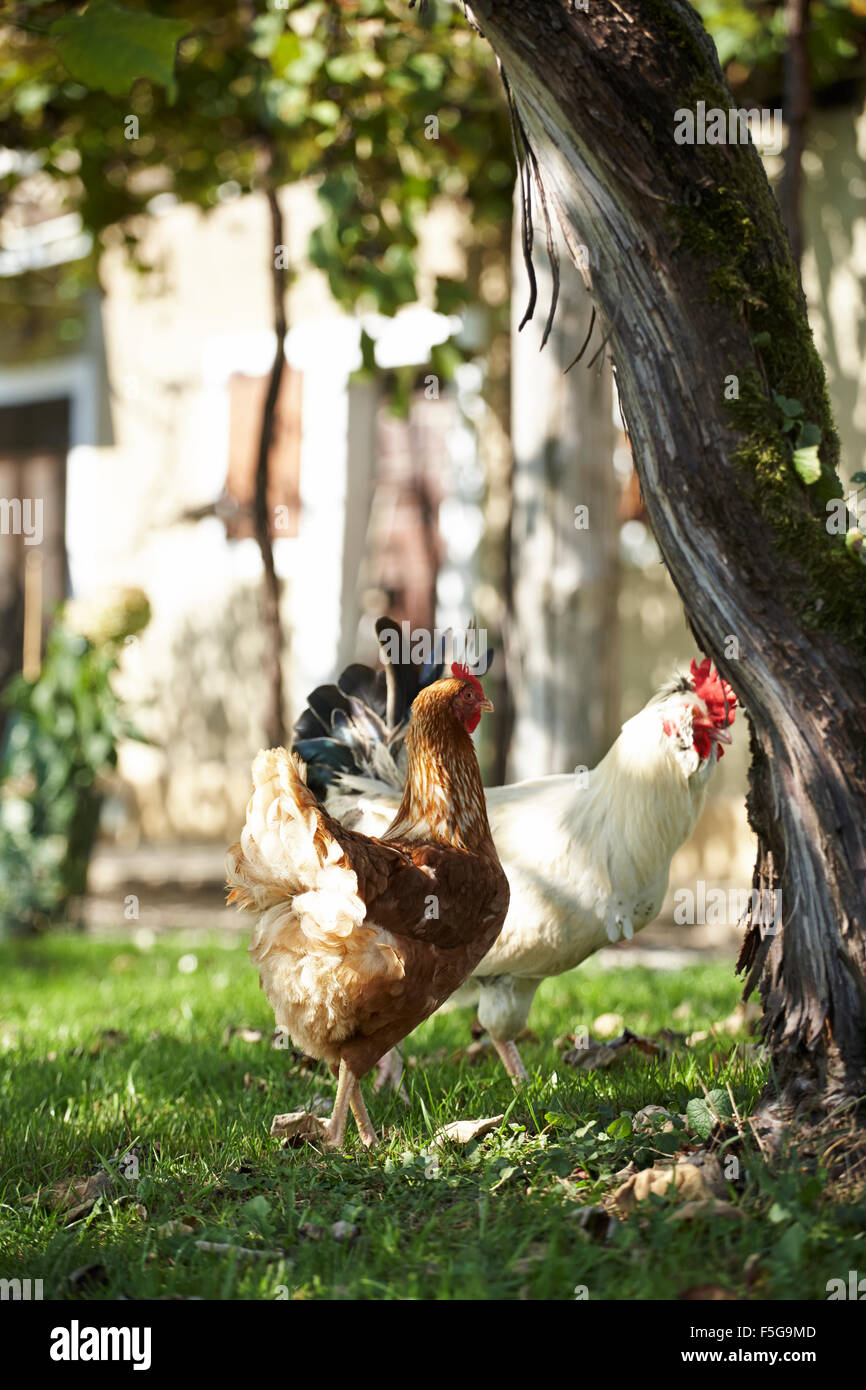 Two chickens standing in the shade of an old vine at a vineyard. - Stock Image