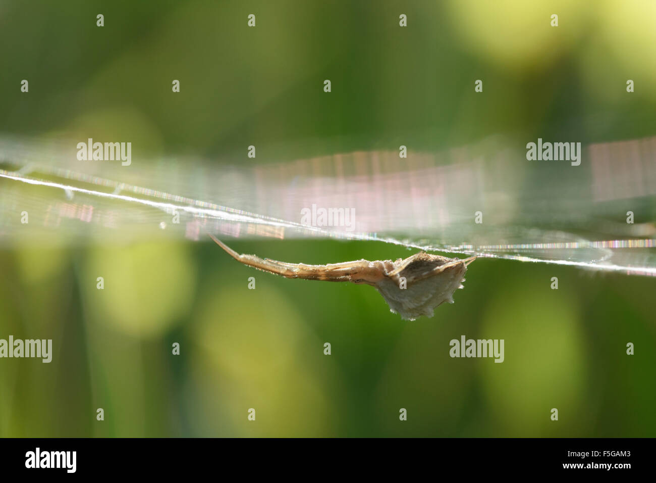 Feather-legged sp. Uloborus walckenaerius adult spider hanging from its web in grassland. Lemnos island, Greece - Stock Image