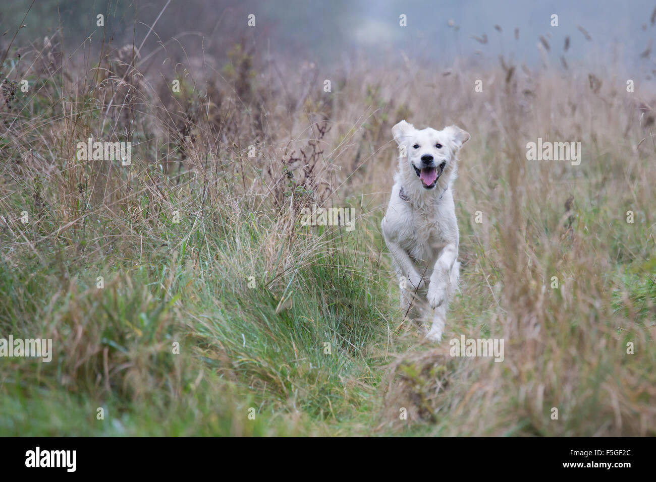 Golden Retriever running through tall grass - Stock Image