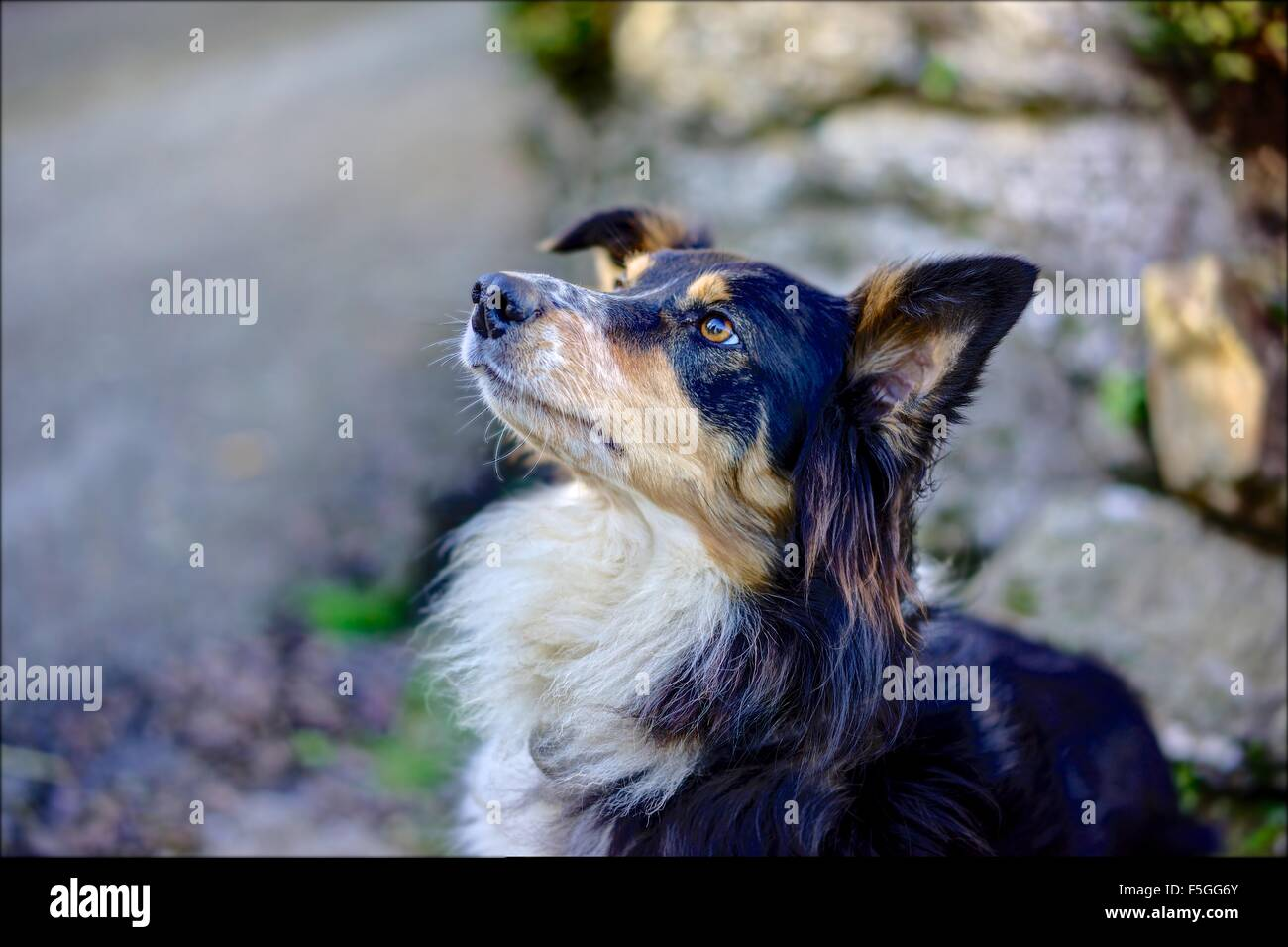A sharply rendered Collie Cross dog, sitting obediently, waiting for her next command against a blurred background - Stock Image
