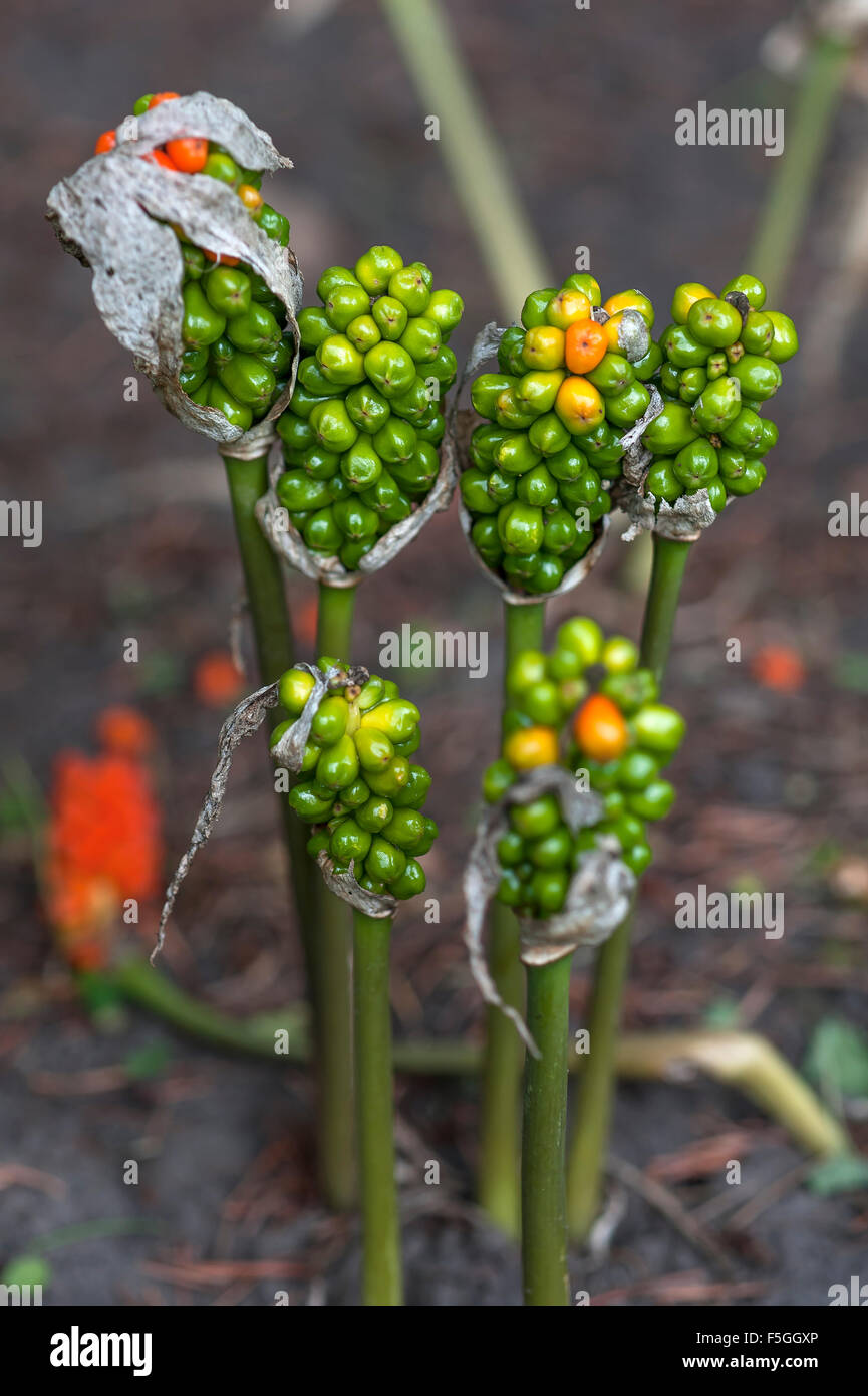 lily seed pods stock photos lily seed pods stock images alamy