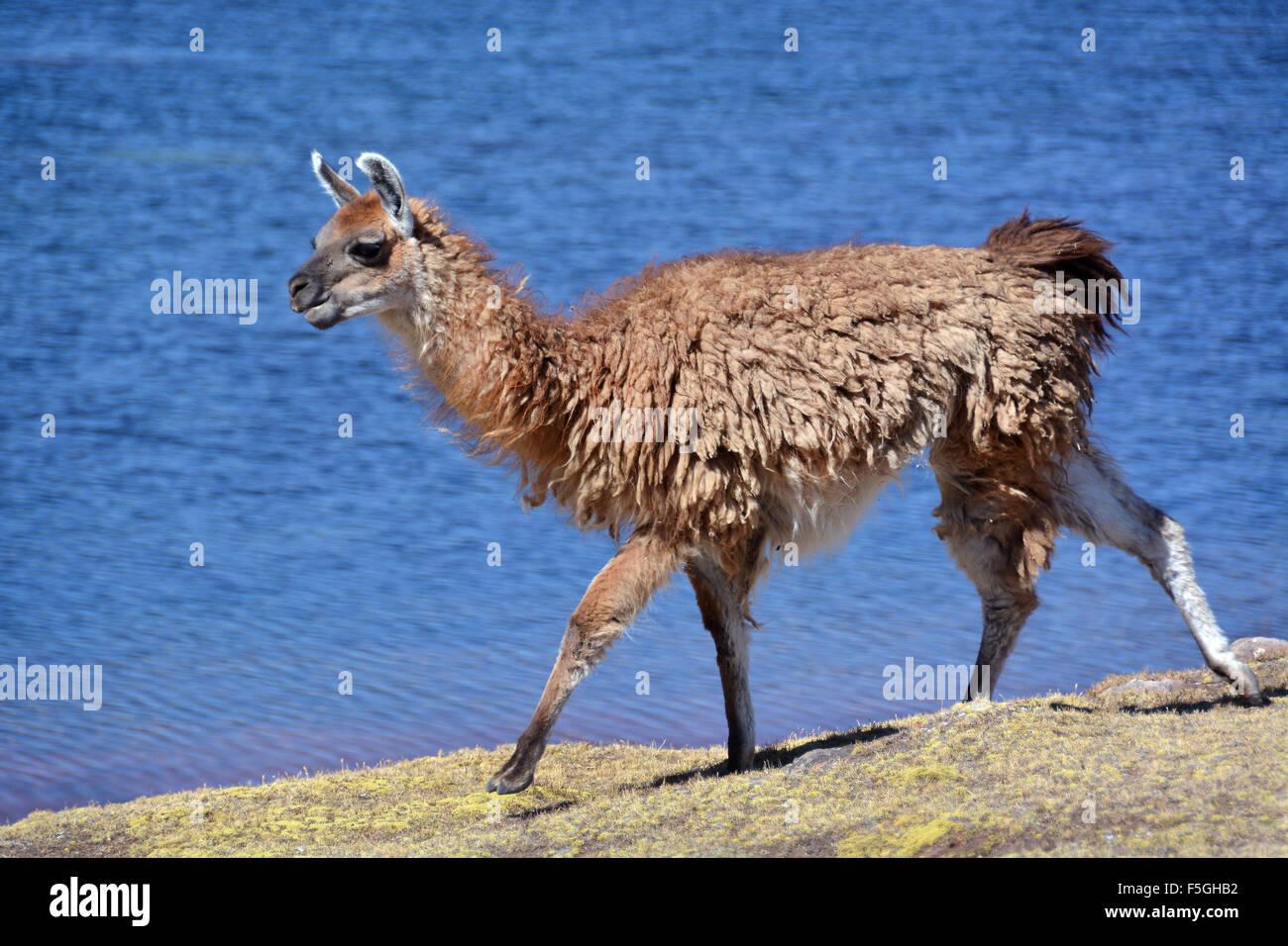 Brown llama (Lama glama) walking in front of lake, Altiplano, Bolivia - Stock Image