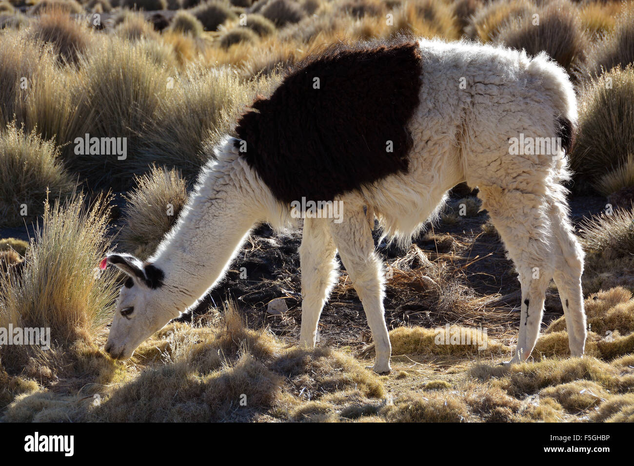 Brown and white llama (Lama glama) eating dry grass, Altiplano, Bolivia - Stock Image