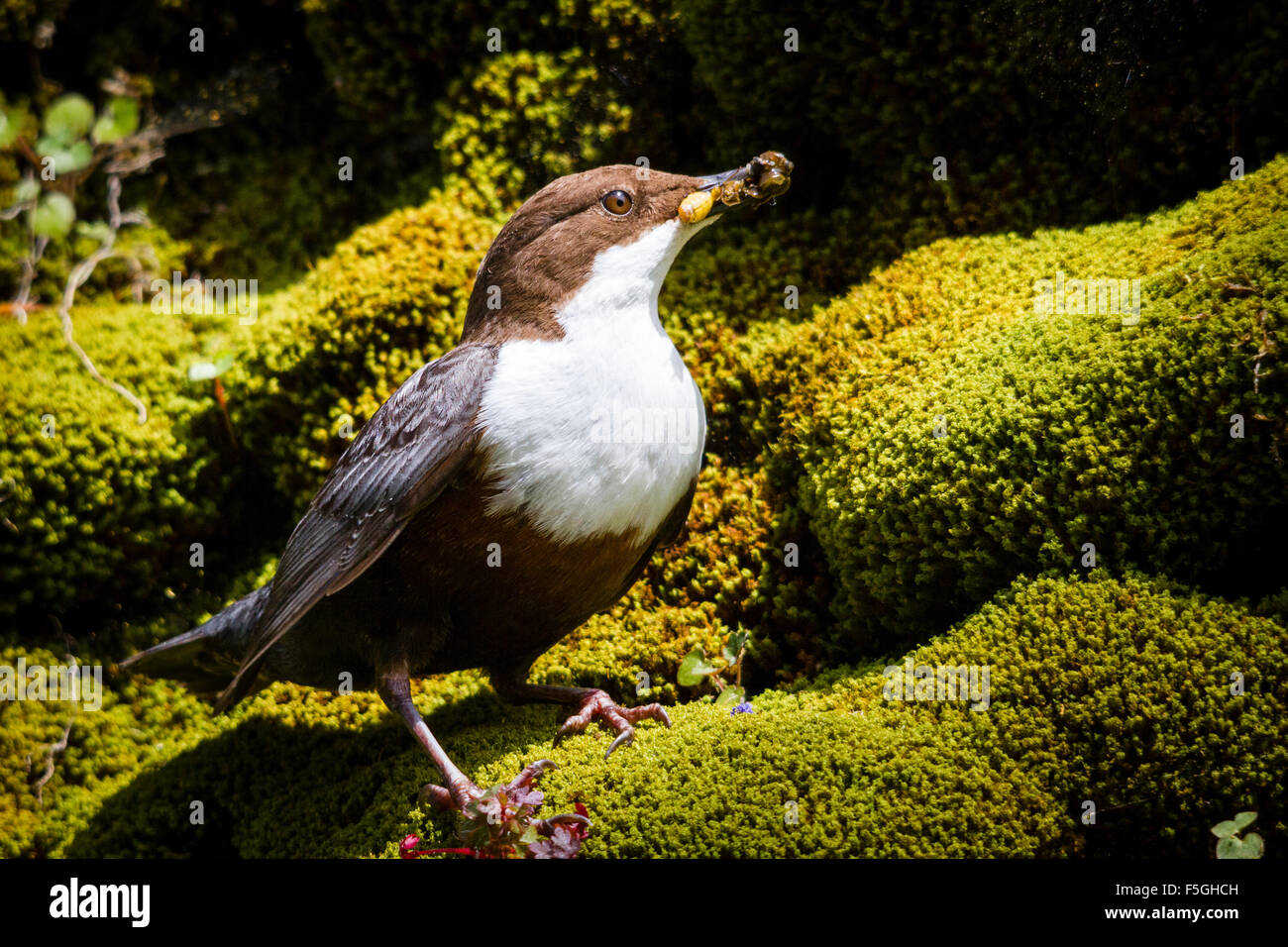 Dipper (Cinclus cinclus) with a mouthful of food, River Exe, Somerset, England, UK - Stock Image