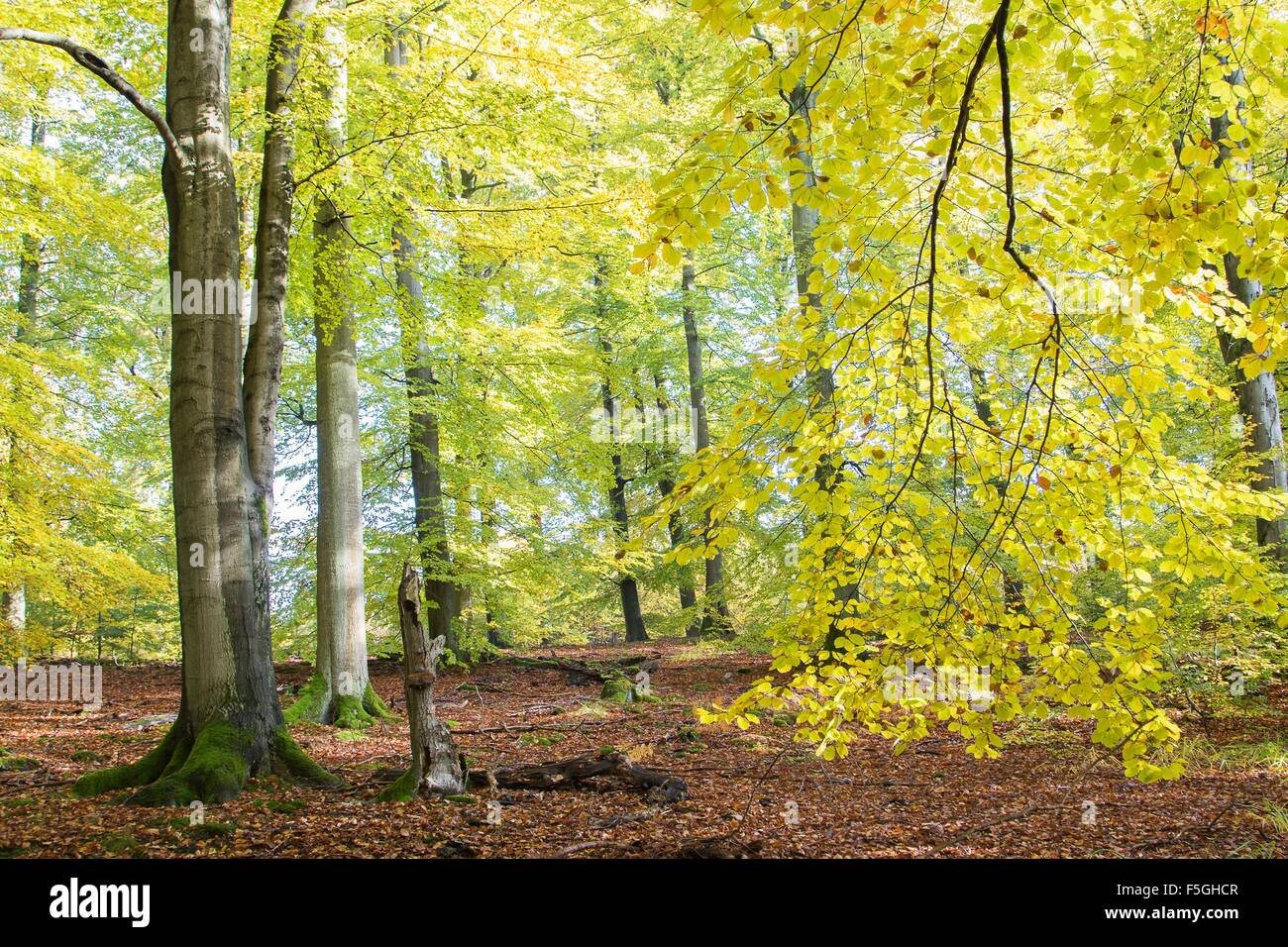 Autumn in beech (Fagus sp.) forest, Hesse, Germany Stock Photo
