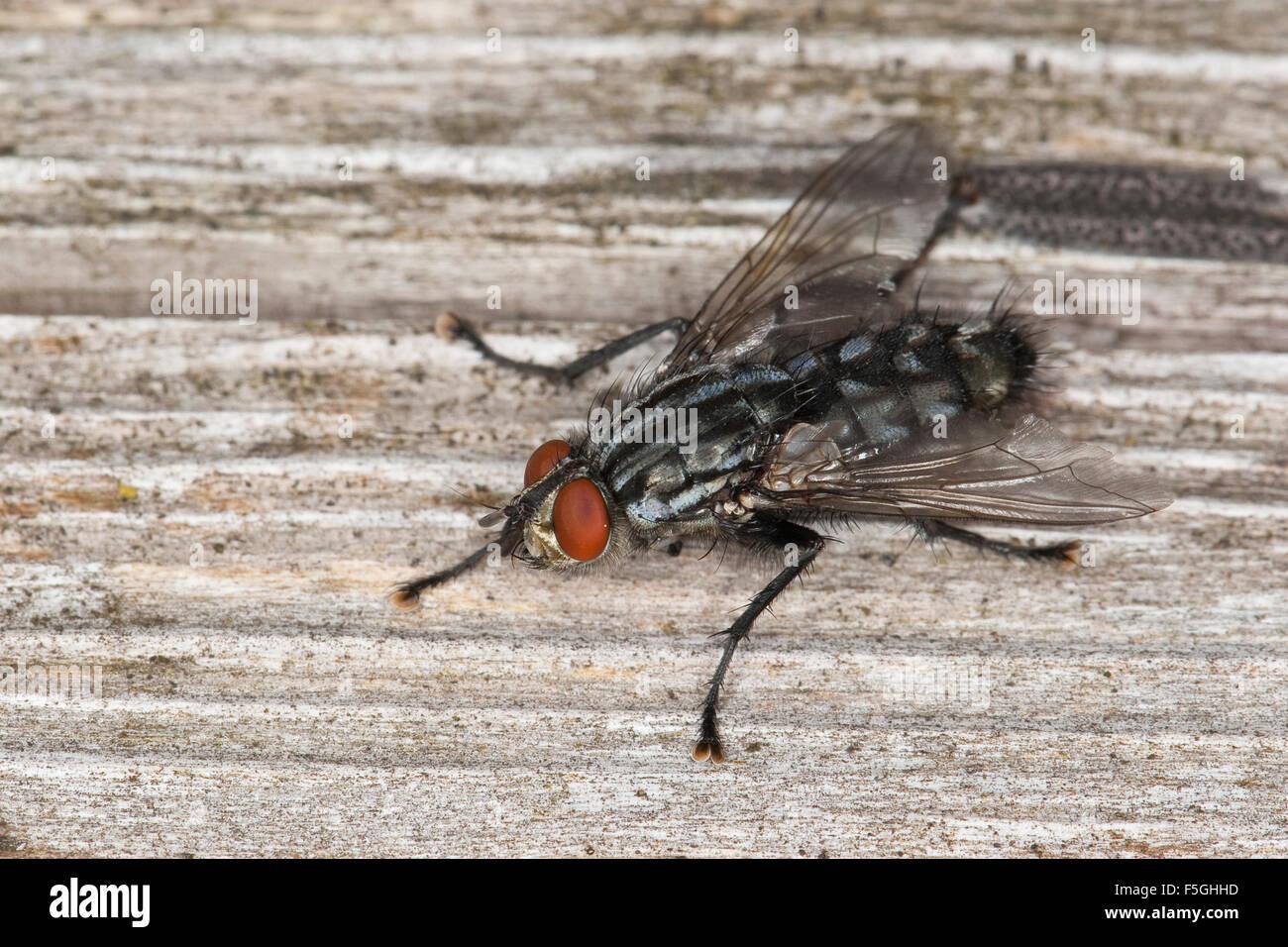 Fly, Fleshfly, flesh-fly, Fleischfliege, Fleisch-Fliege, Sarcophaga cf. carnaria, Sarcophagidae, Fleischfliegen, Stock Photo