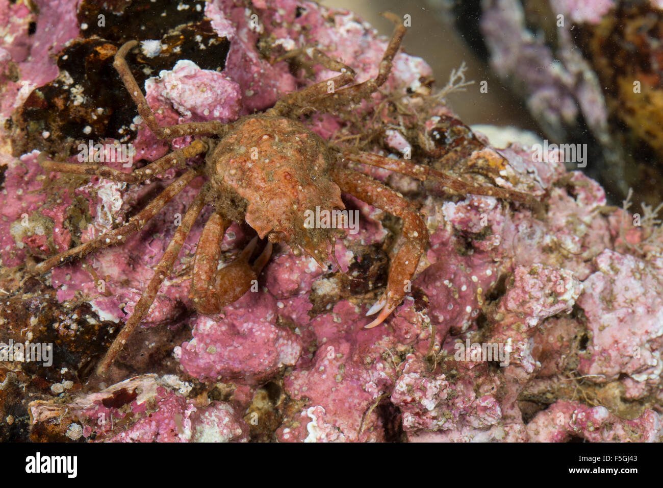 Contracted crab, Arctic lyre crab, Spider crab, Geigenkastenseespinne, Geigenkasten-Seespinne, Hyas coarctatus, - Stock Image