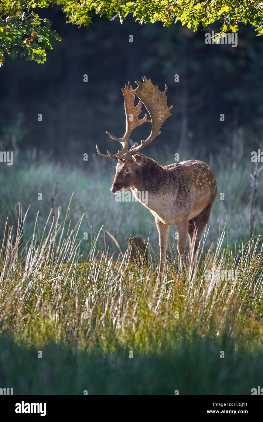 Fallow deer (Dama dama), stag in autumn, Schaufler, Saxony, Germany - Stock Image