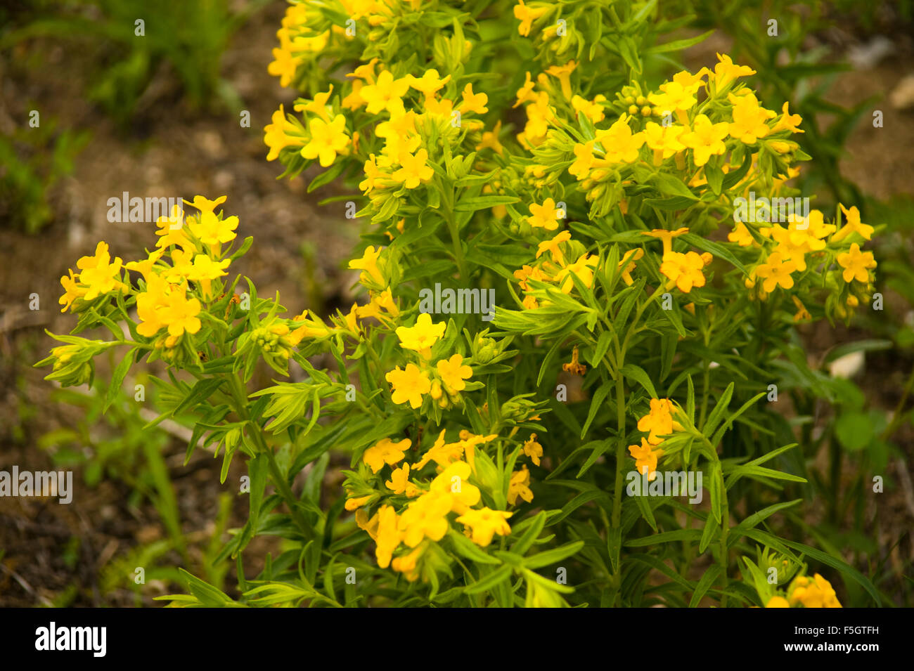 Yellow wildflowers in northern indiana forest stock photo 89495605 yellow wildflowers in northern indiana forest mightylinksfo