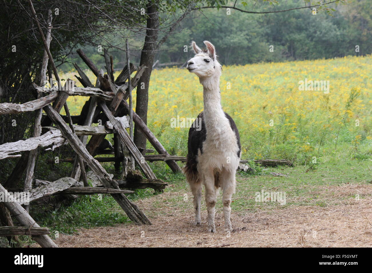 Llama on a small hobby farm. The Llama is a domesticated South American camelid, was widely used as a meat and pack - Stock Image