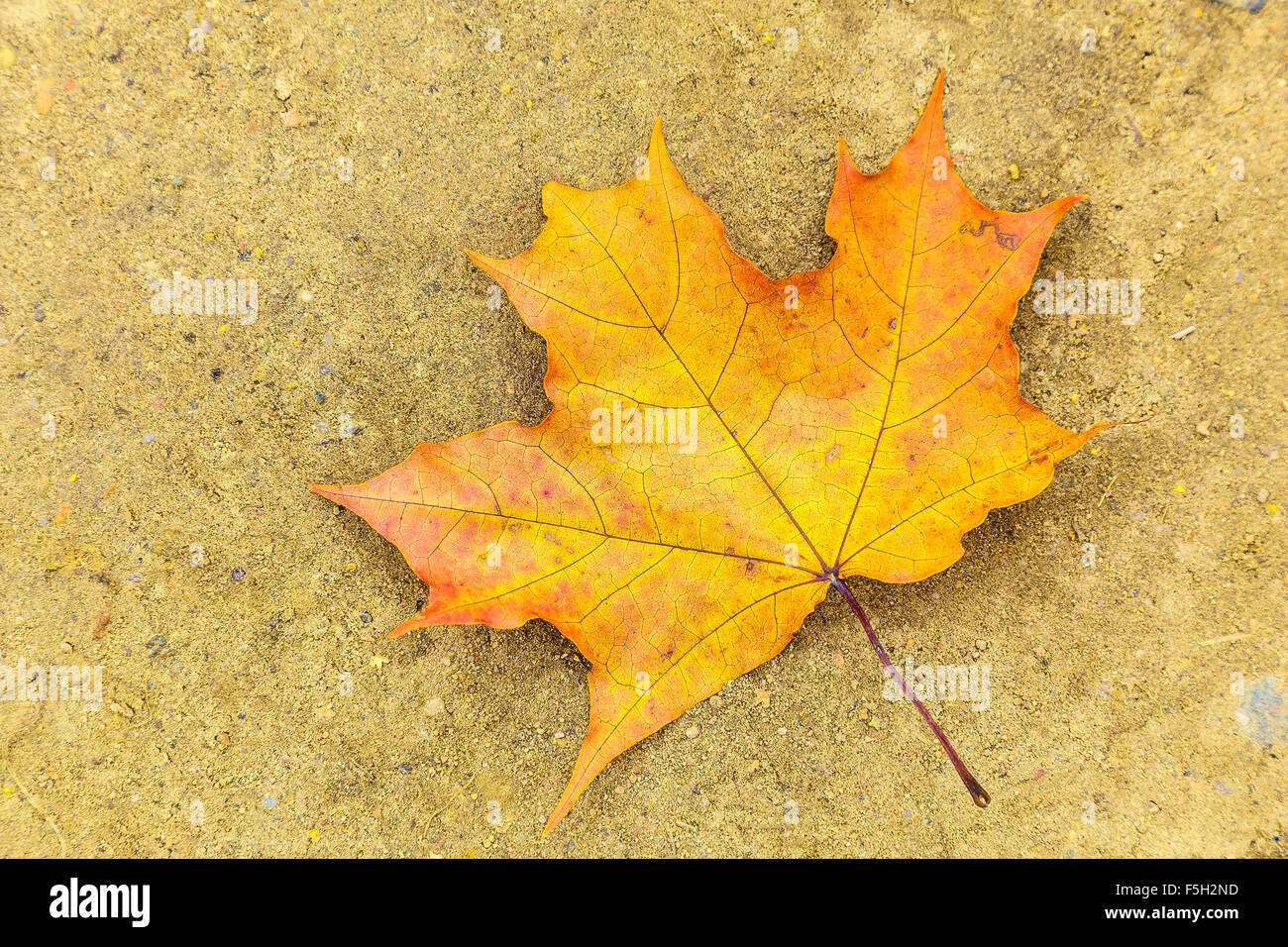 Colorful Maple Leaf Lying on the Ground Stock Photo - Alamy