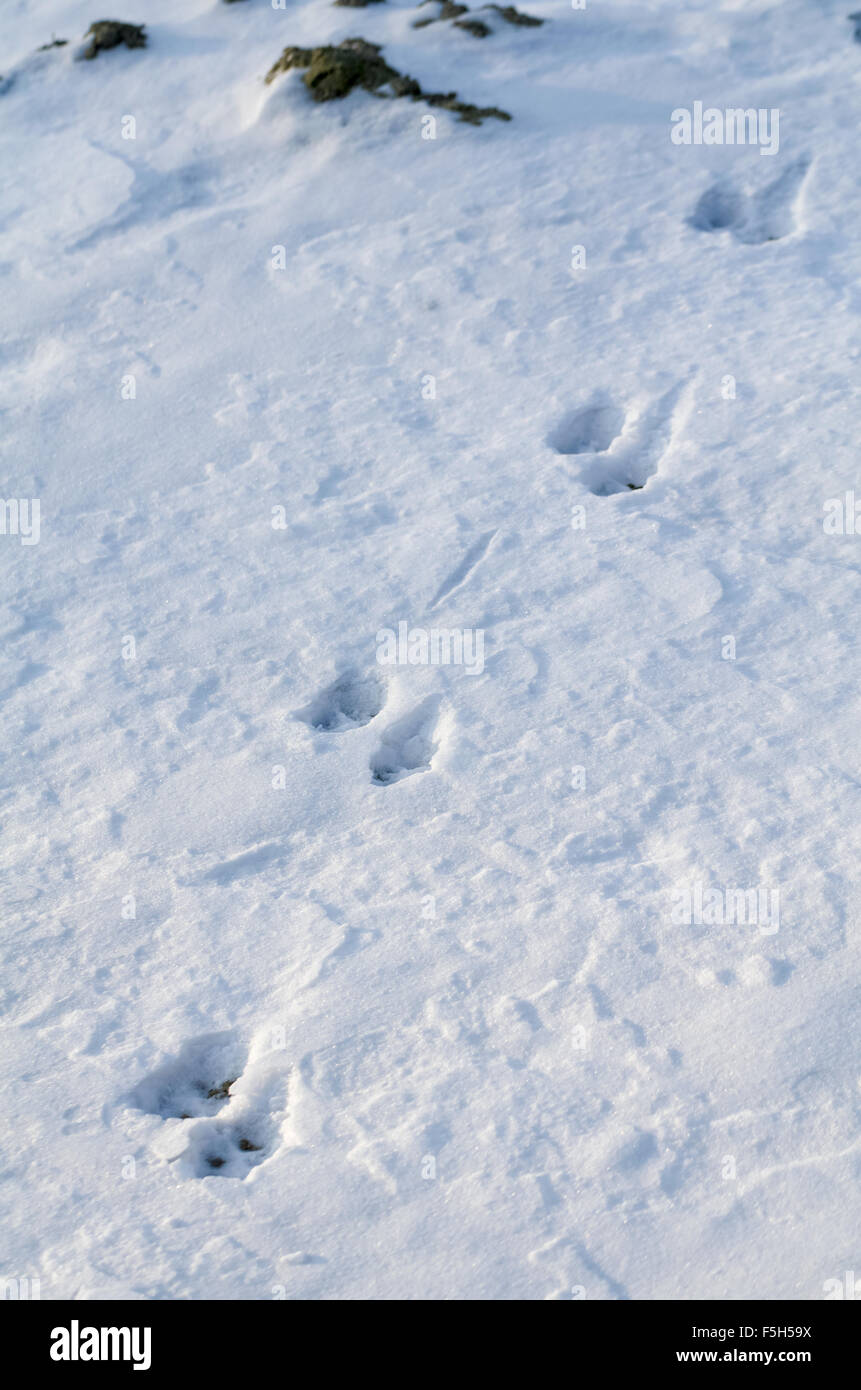 Animal Tracks in Snow at Winter Daytime Vertical Stock Photo