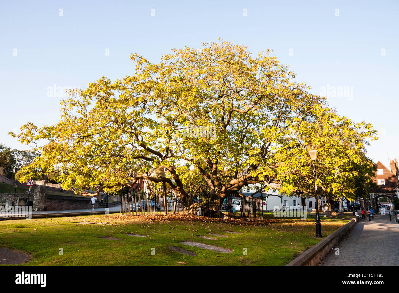 England, Rochester Cathedral. England's oldest Catalpa tree. Golden hour, blue sky. Entire tree, wide-angle - Stock Image