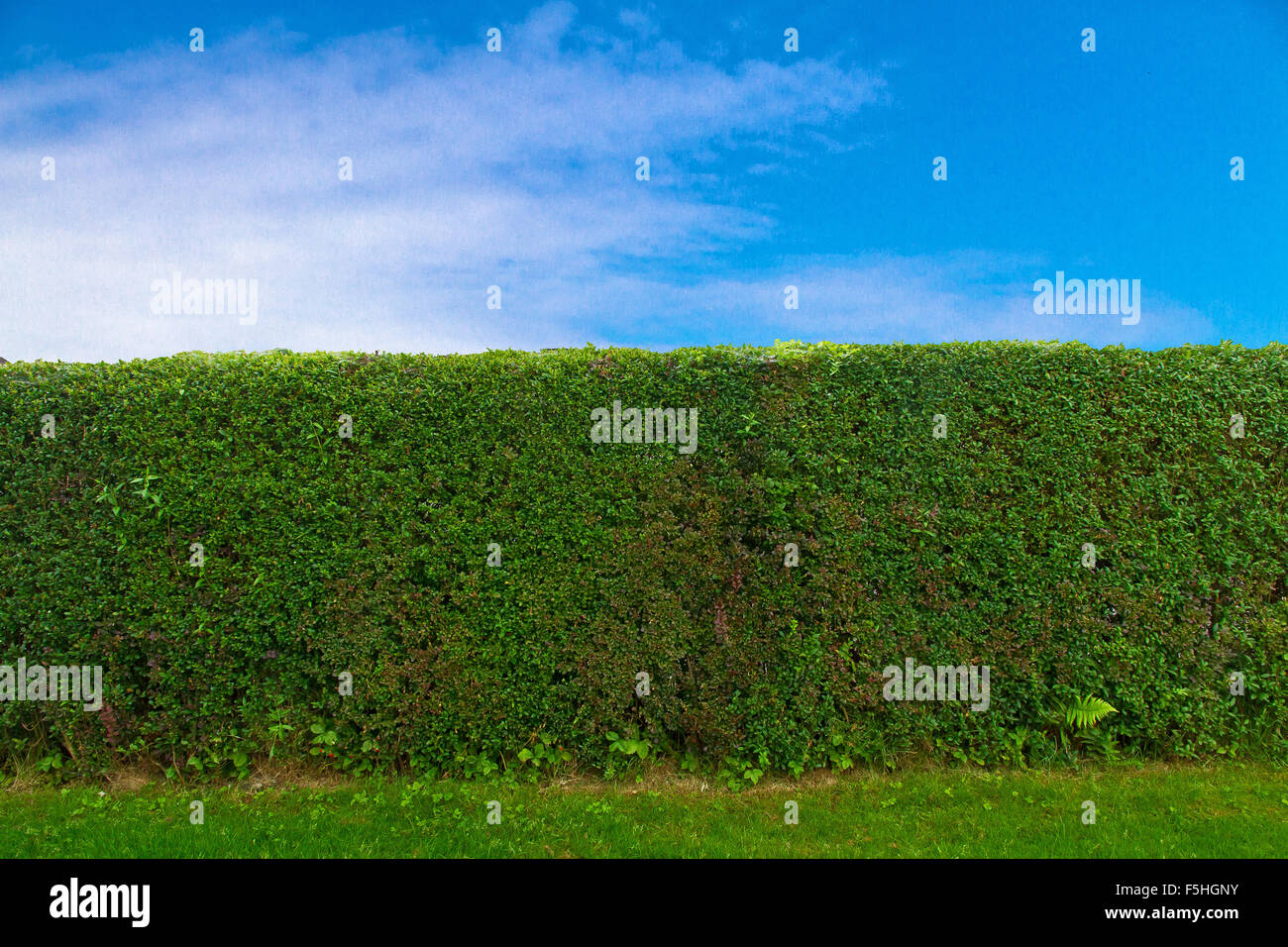 Green hedge and blue sky - Stock Image